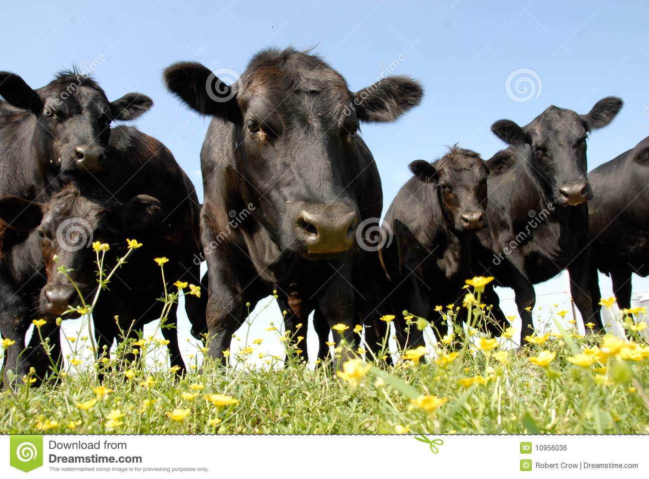 Beef Cattle Stare