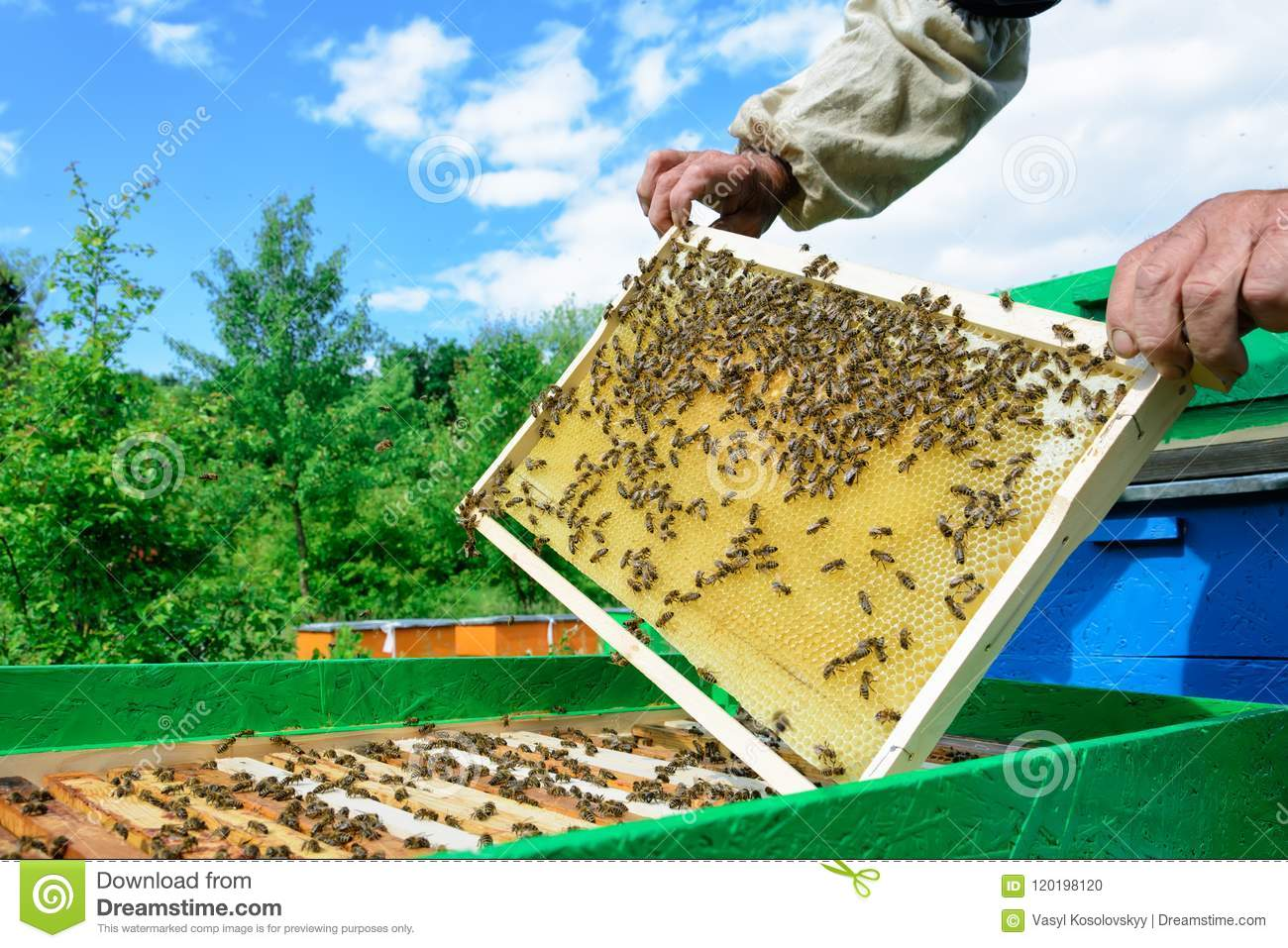 Beekeeper holding a honeycomb full of bees. Beekeeper inspecting honeycomb frame at apiary. Beekeeping concept.