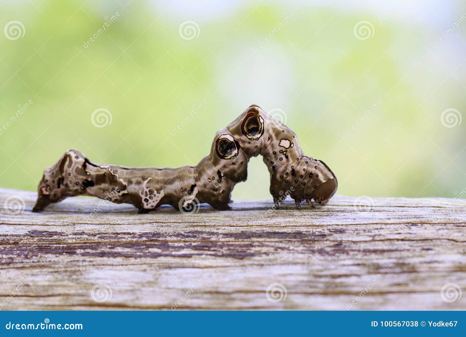 Beeld van bruine rupsband op bruin droog hout insect Dier