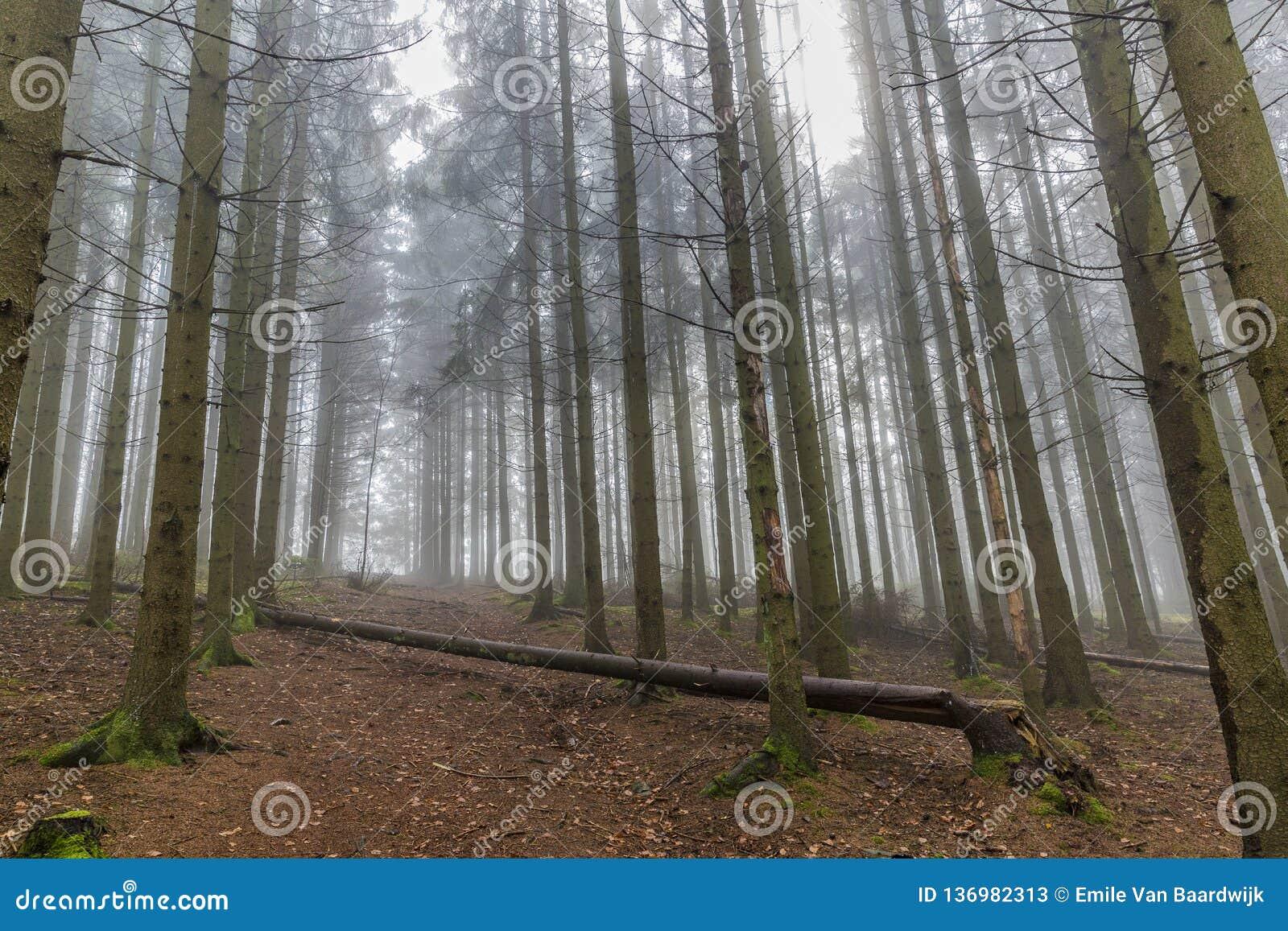 Beeld van lange pijnboombomen vanuit een lager perspectief in het bos