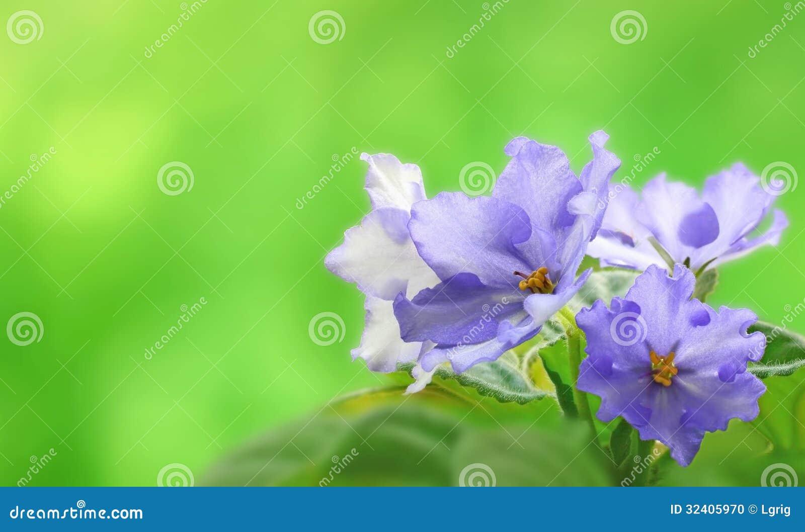 Beeld van viooltjes op een mooie zachte achtergrond stock foto afbeelding 32405970 - Een mooie kamer van een mooie meid ...