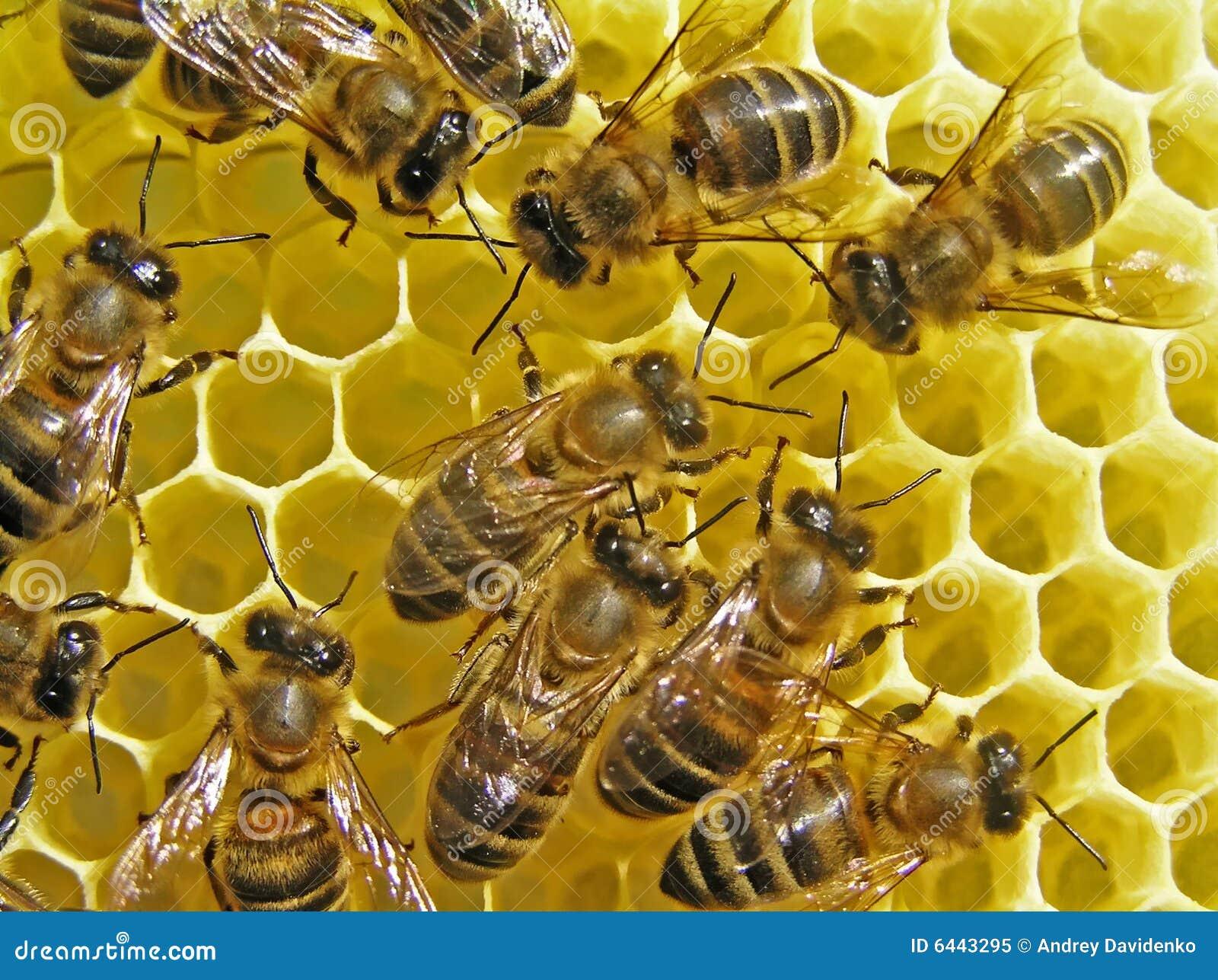 Bees build honeycombs.