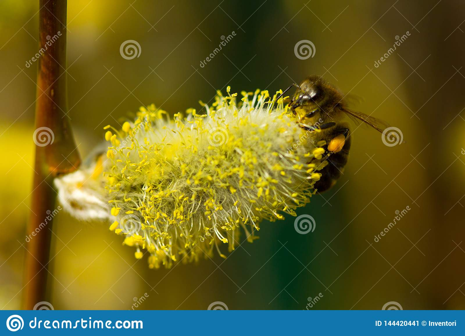 Bees collect nectar from flowering willow