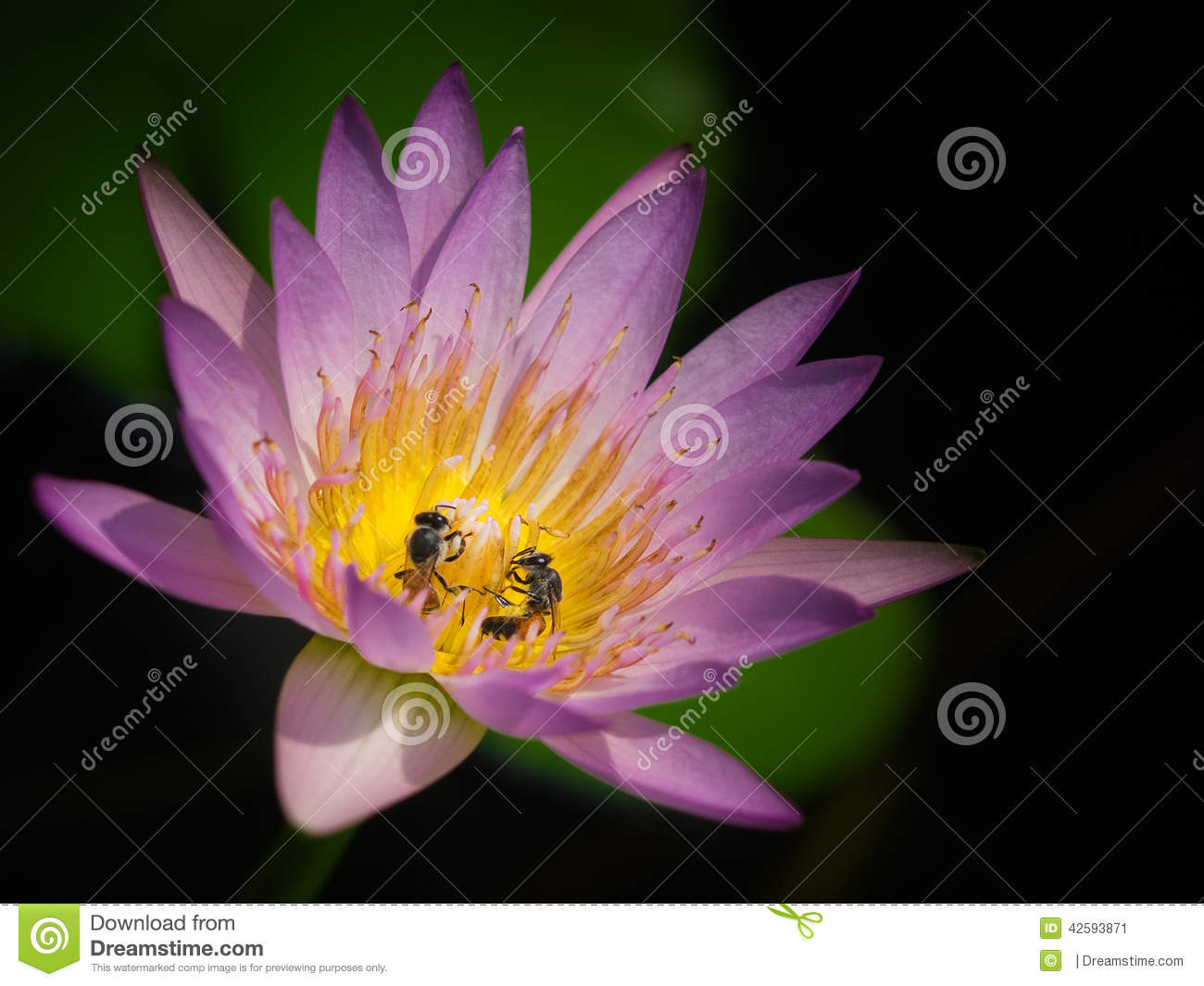 The bees are eating the pollen stock image image of life eating two bees are eating the delicious pollen in a lotus flower mightylinksfo