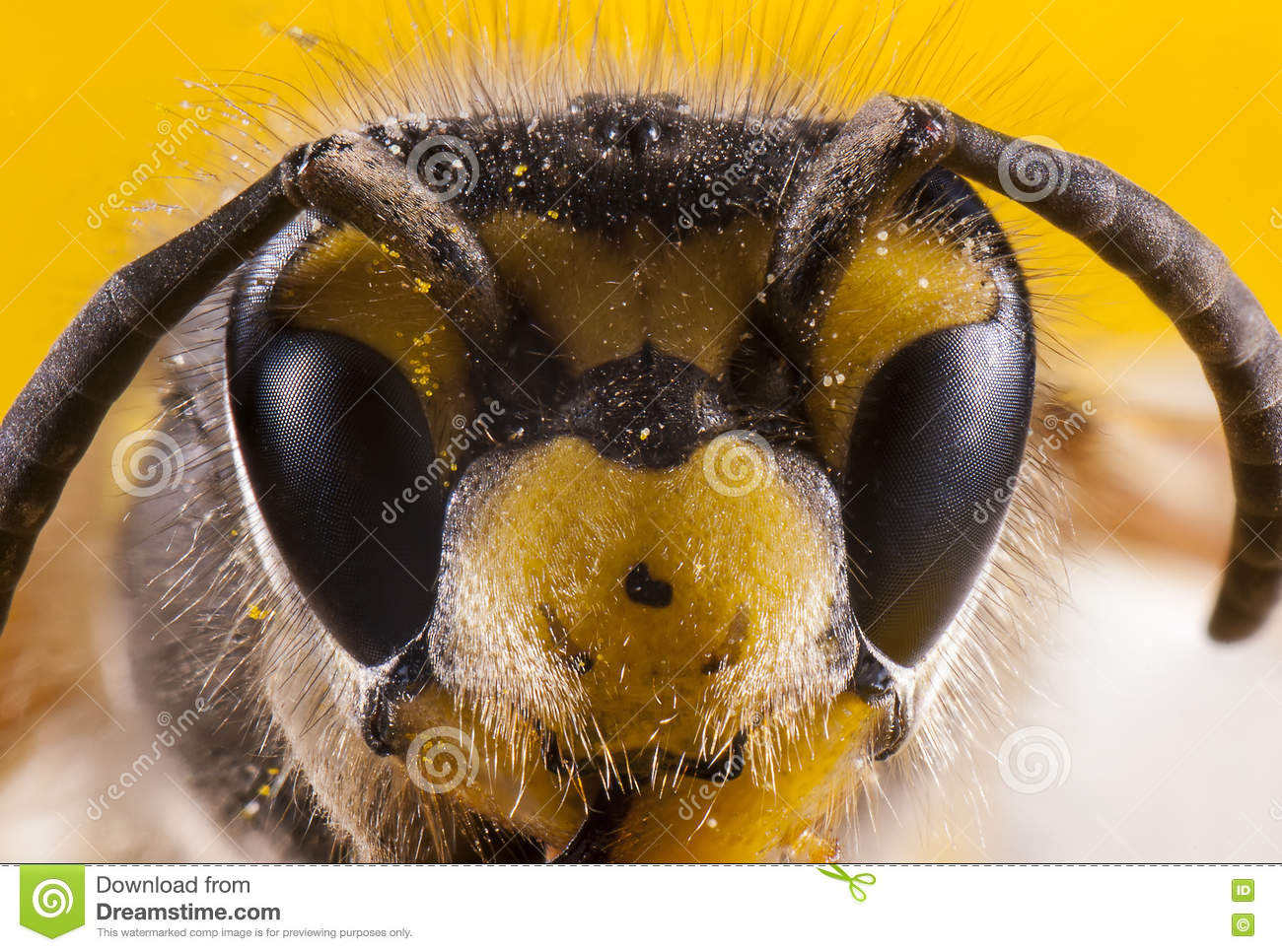 bees face macro shot stock photo image 71801502. Black Bedroom Furniture Sets. Home Design Ideas