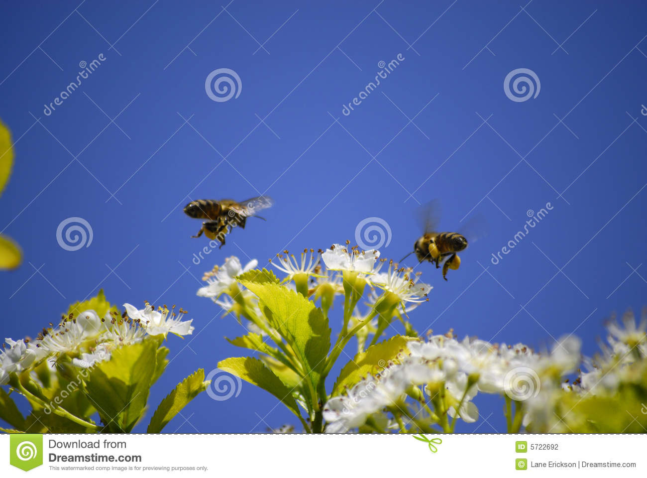 bee hovering around the - photo #47