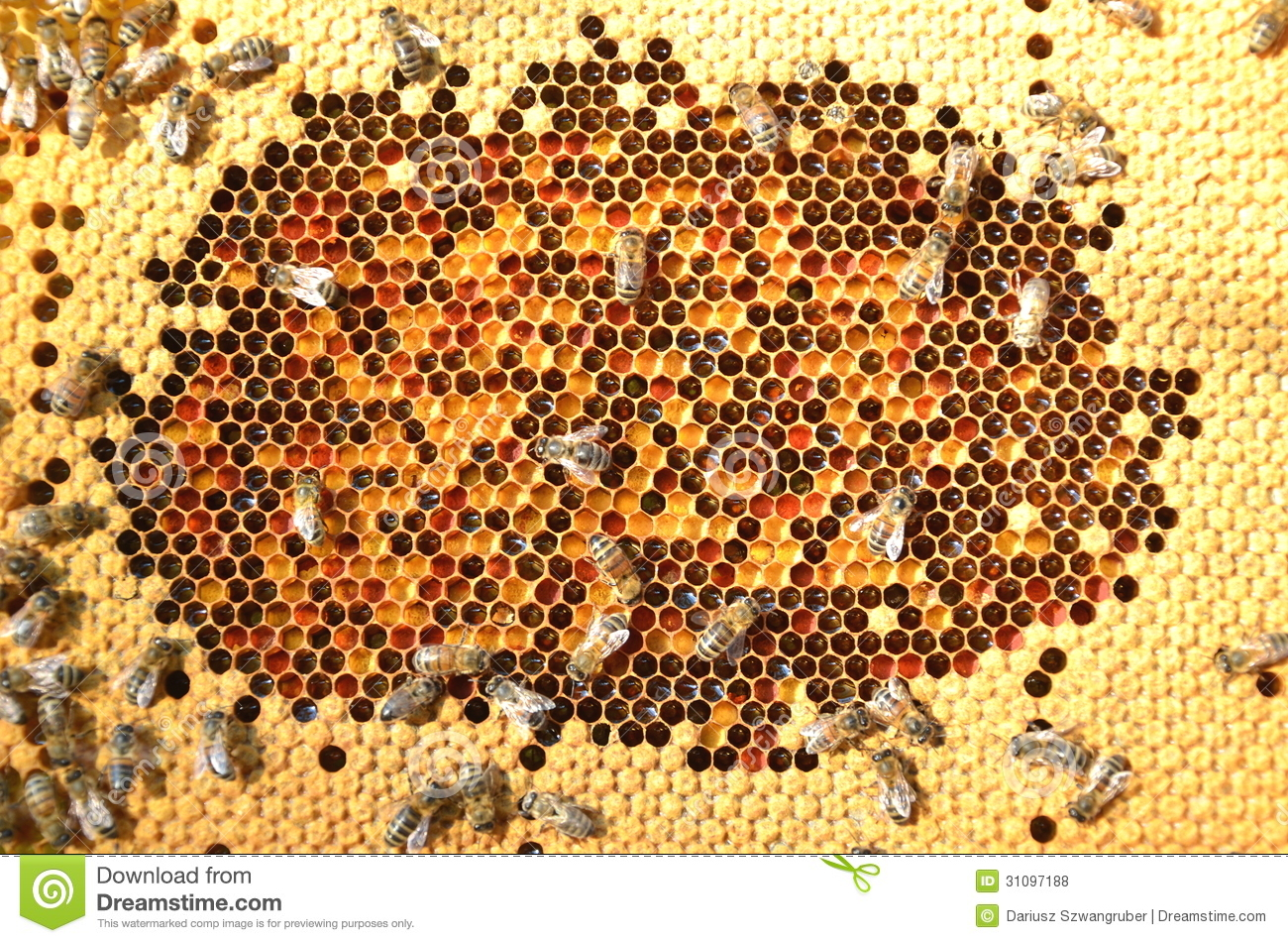 Bees On Honeycomb Stock Photo Image Of Garden Cluster