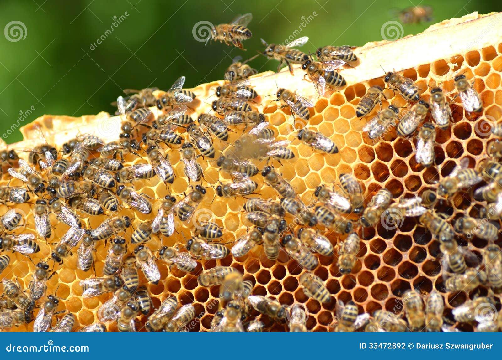 bees honeycomb eating honey 33472892