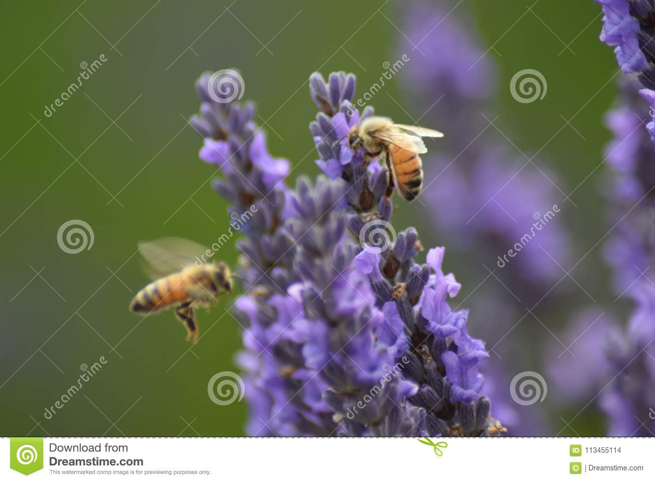 Bees and lavender plant