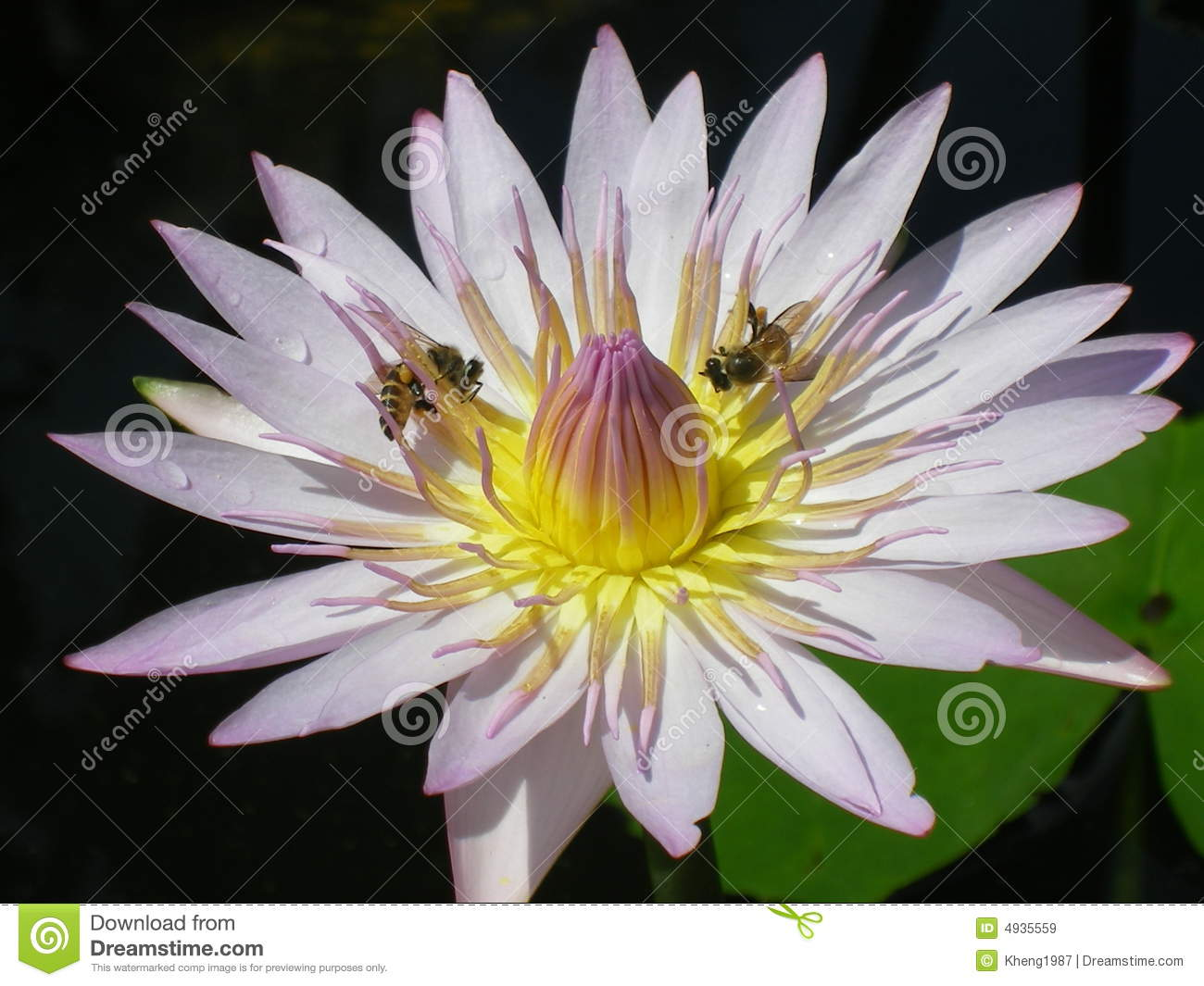 Bees and Lotus