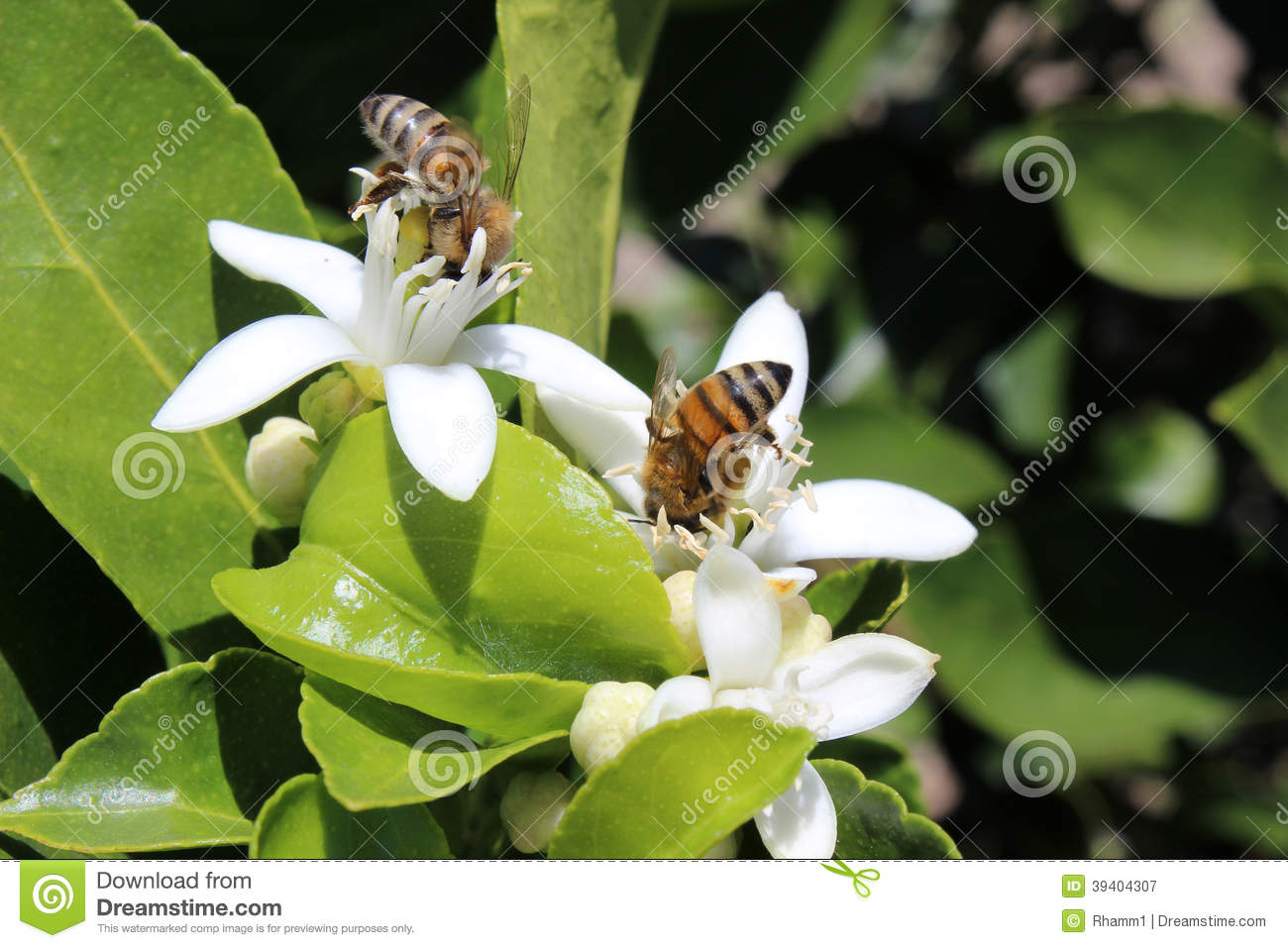 Bees Pollinating Fruit Trees Stock Image - Image: 39404307