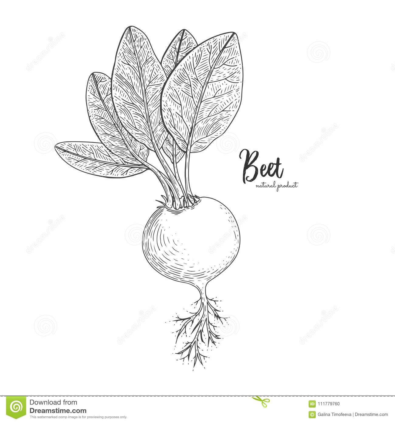 Beet hand drawn vector illustration. Isolated vegetable engraved style object. Detailed vegetarian food drawing. Farm