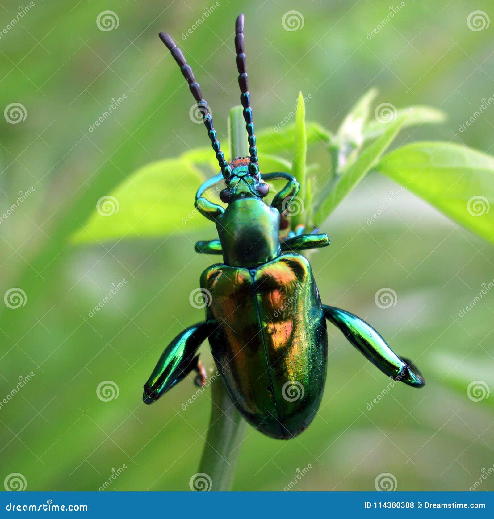 Beetel verdâtre de bijou accrochant sur un bourgeon de feuille d arbre