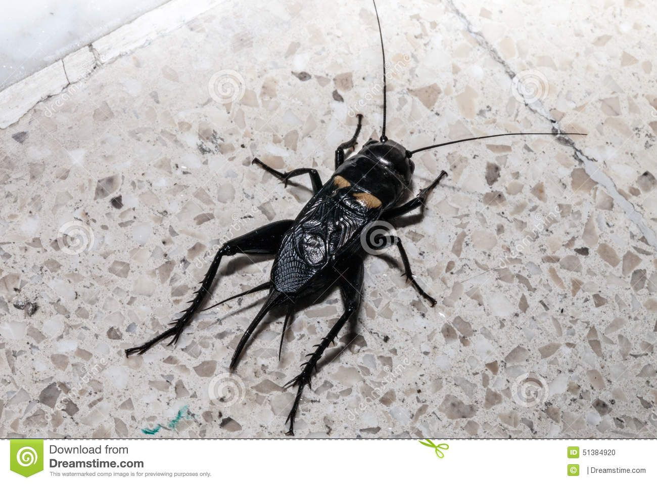 Beetle Stock Photo Image Of Insect Crash Animal Natural 51384920