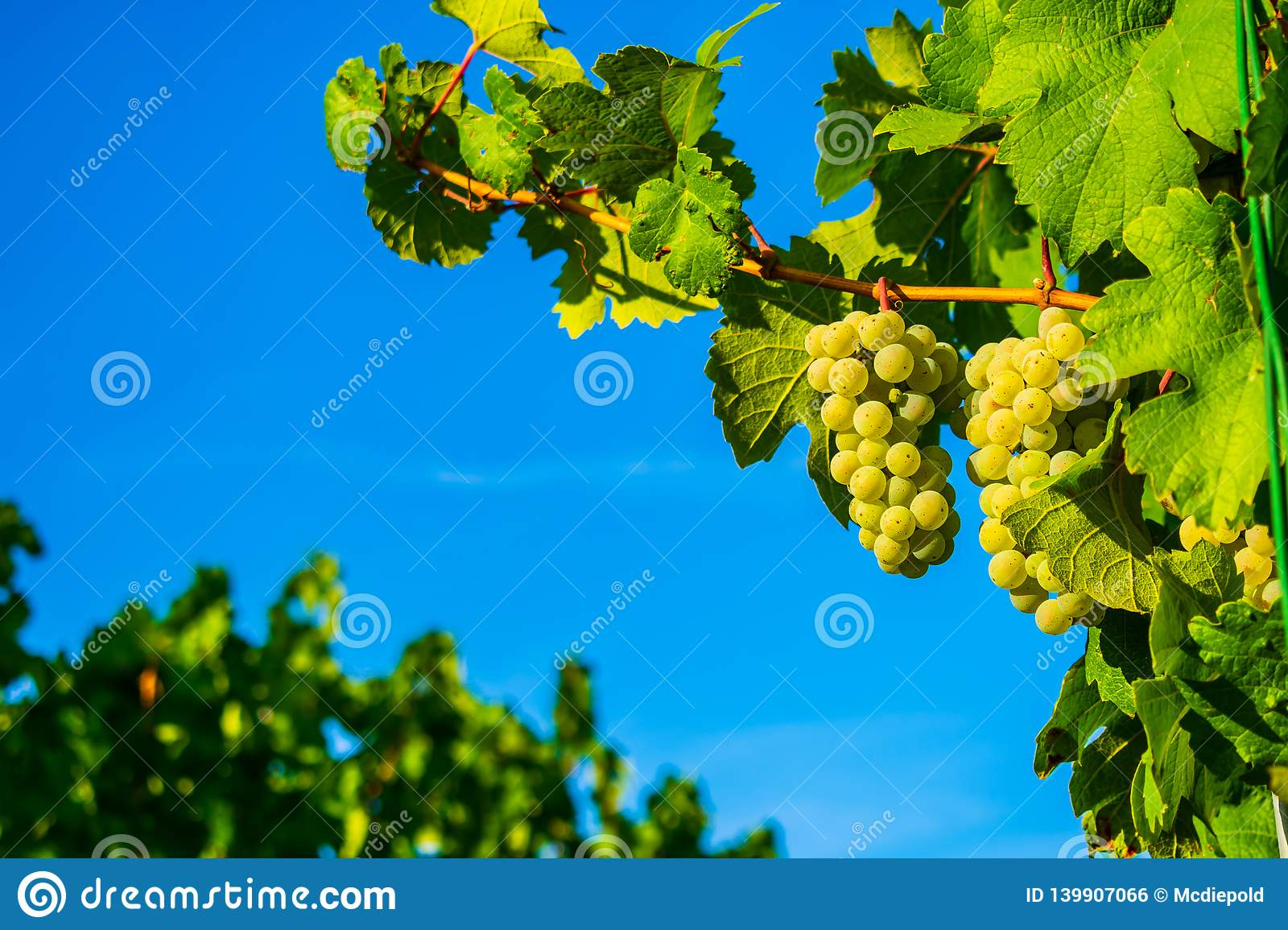 Grapes on the vine in front of blue sky