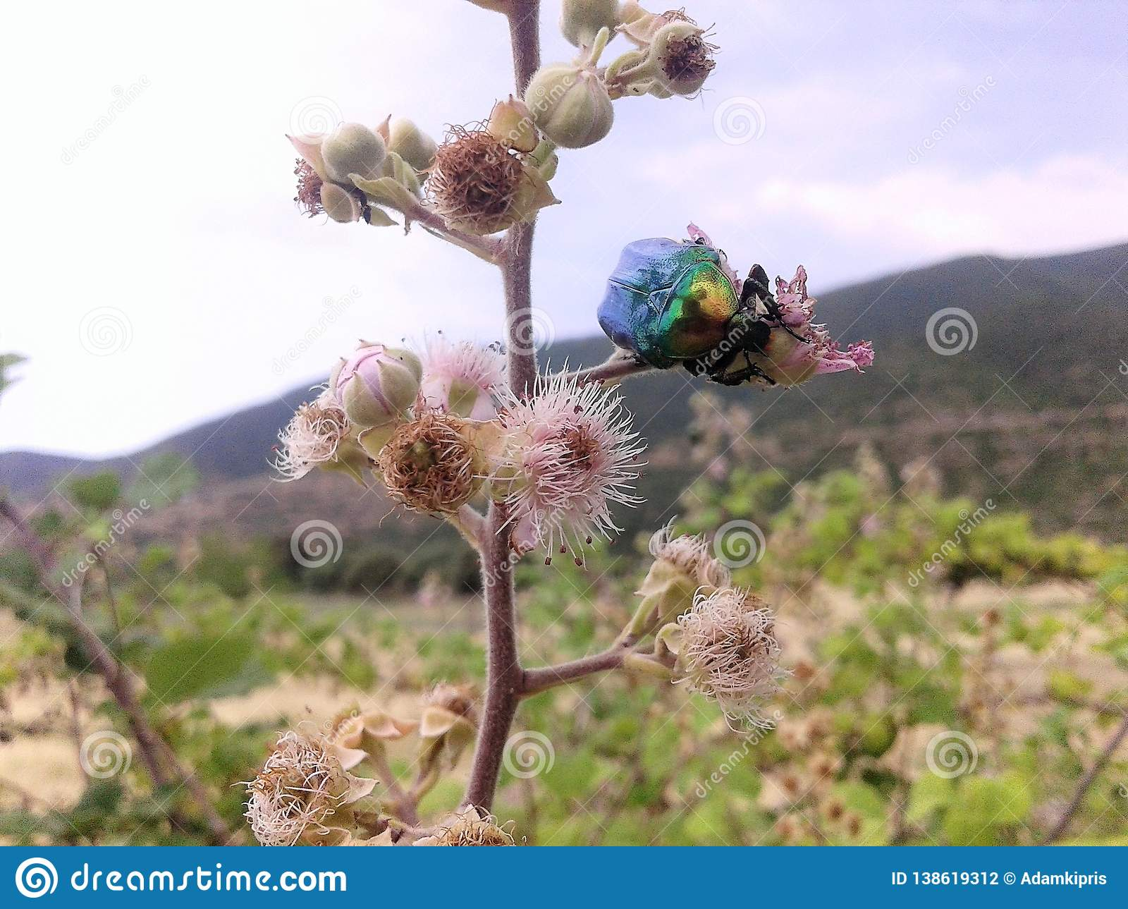 The Beetle and the flower