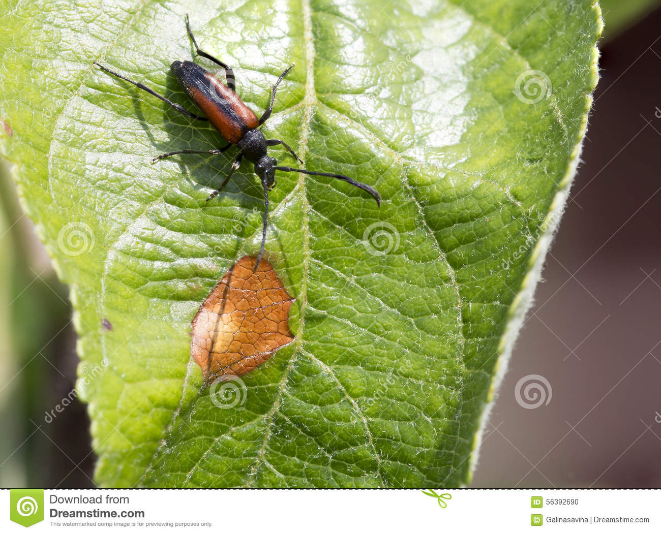 Lovely Beetle On A Leaf Of An Apple Tree Stock Photo - Image of macro  ZH56
