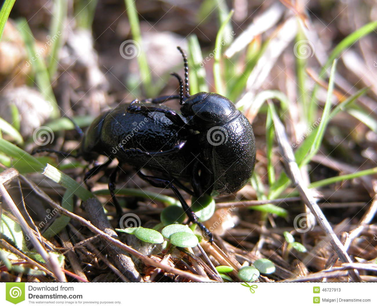 Beetle Reproduction Why We Love Beetle. Ve...