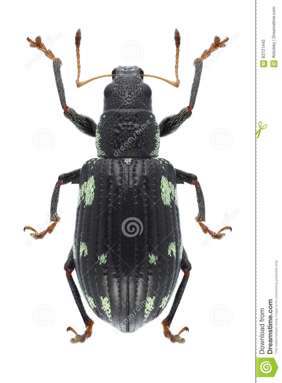 Beetle Polydrusus Picus Stock Photo