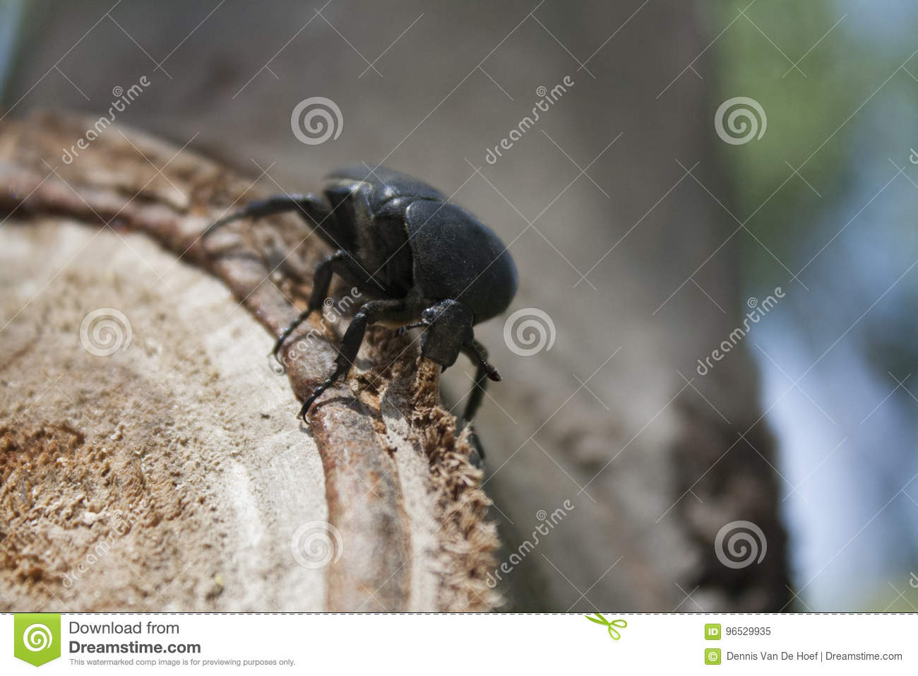 Beetle sitting on a tree. Insects, beetles.