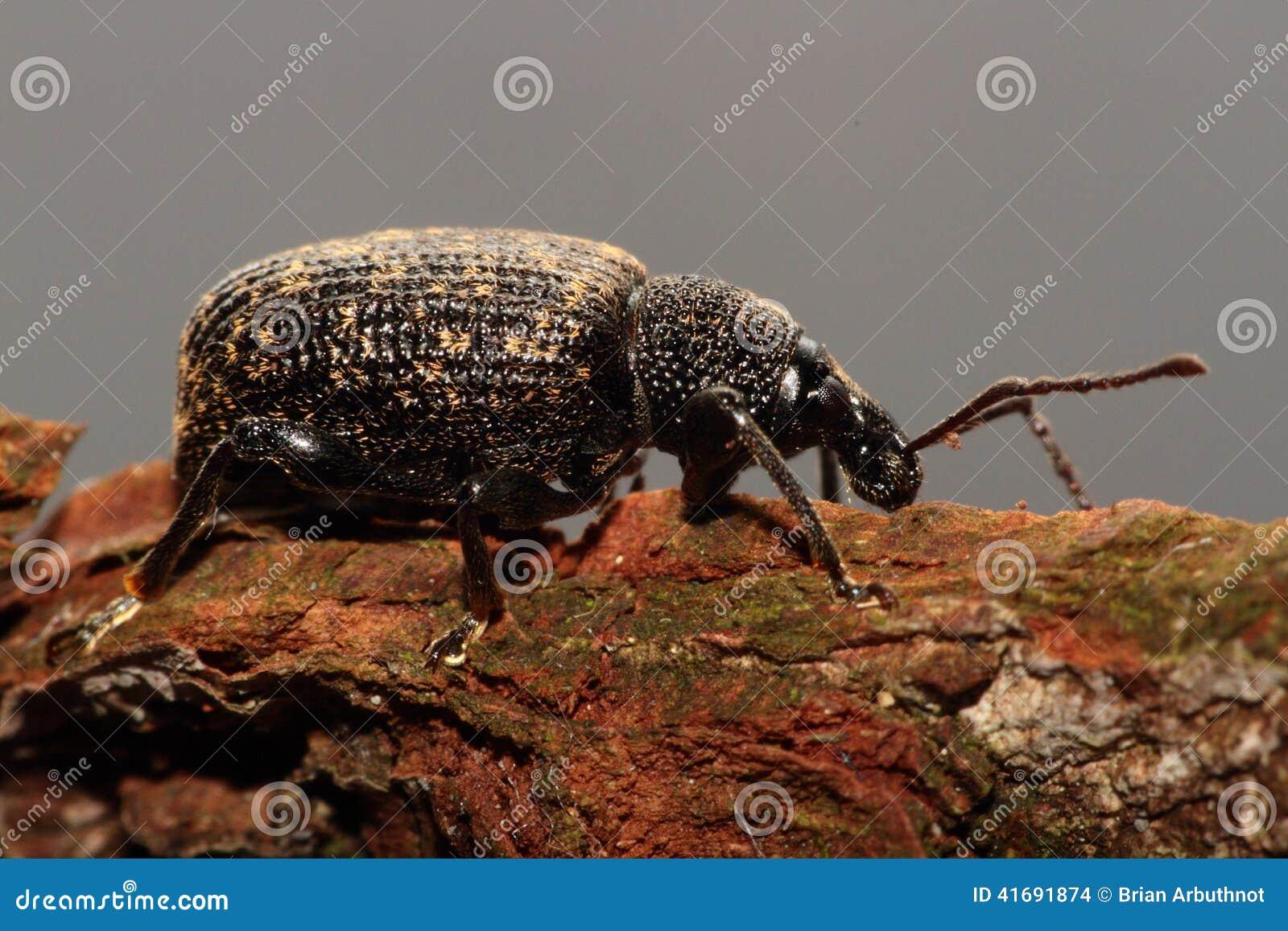 Black snout beetle.