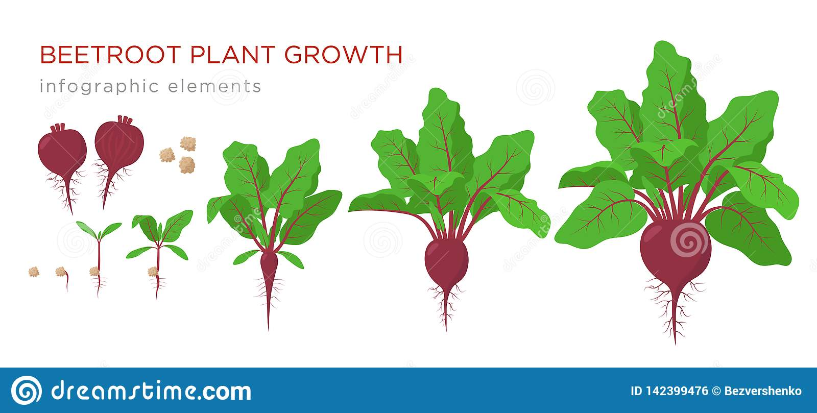 Beetroot Plant Growth Stages Infographic Elements Growing Process Of Beets From Seeds Sprout To Mature Plant With Ripe Stock Vector Illustration Of Agriculture Icon 142399476