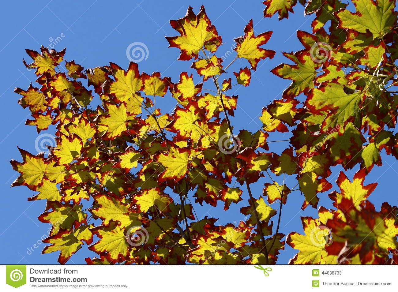 Colors of autumn in a landscape. Colored leaves in sunlight and blue sky in background