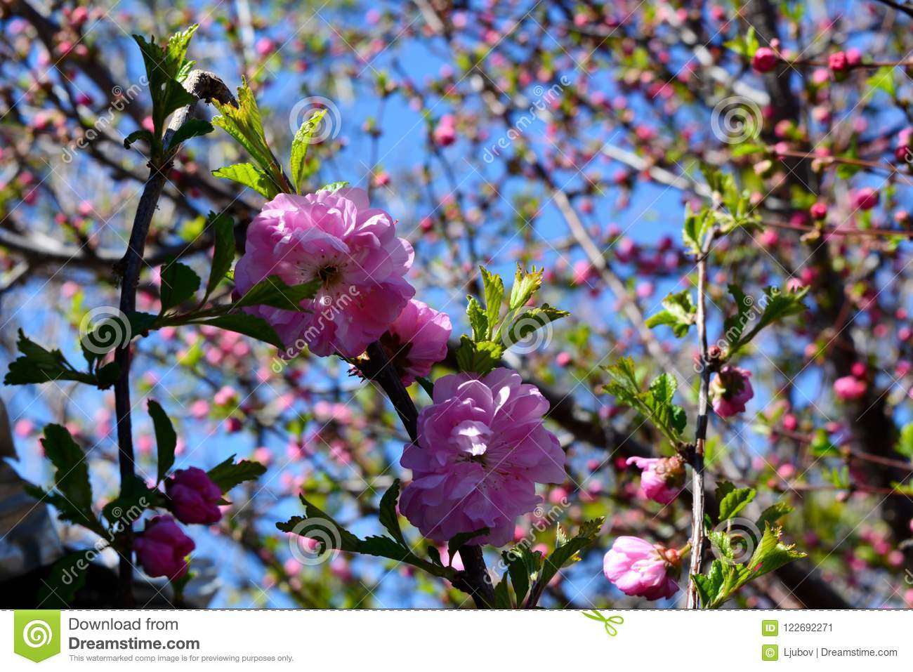 The beginning of blooming of almond tree beautiful pink flowers the beginning of blooming of almond tree beautiful pink flowers mightylinksfo