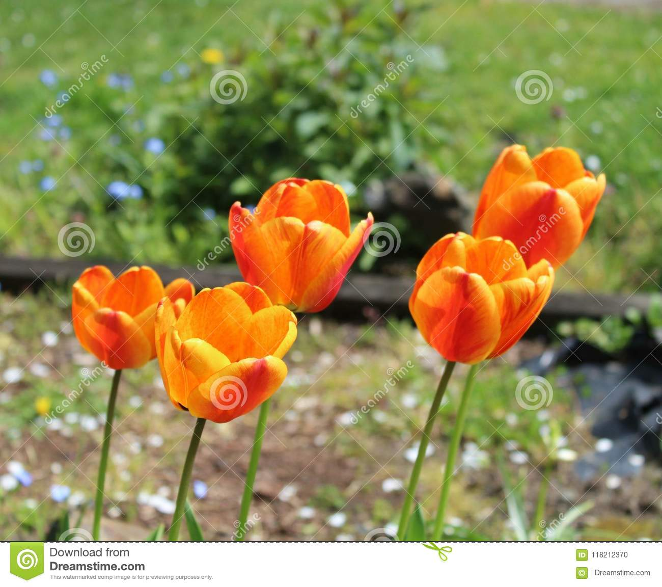 The Beginning Of Spring In A Tulip Stock Photo Image Of Color