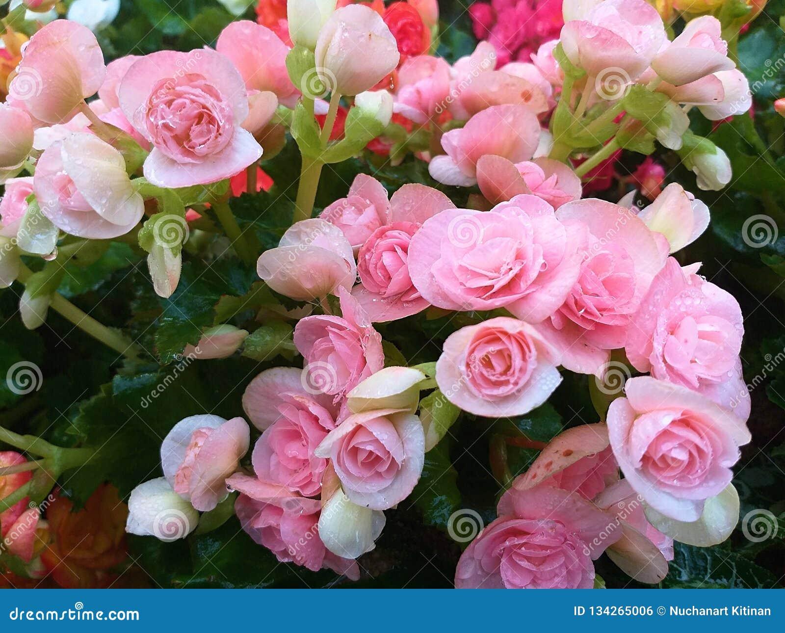 Begonia Begoniaceae Heart Shaped Flower Stock Photo Image Of