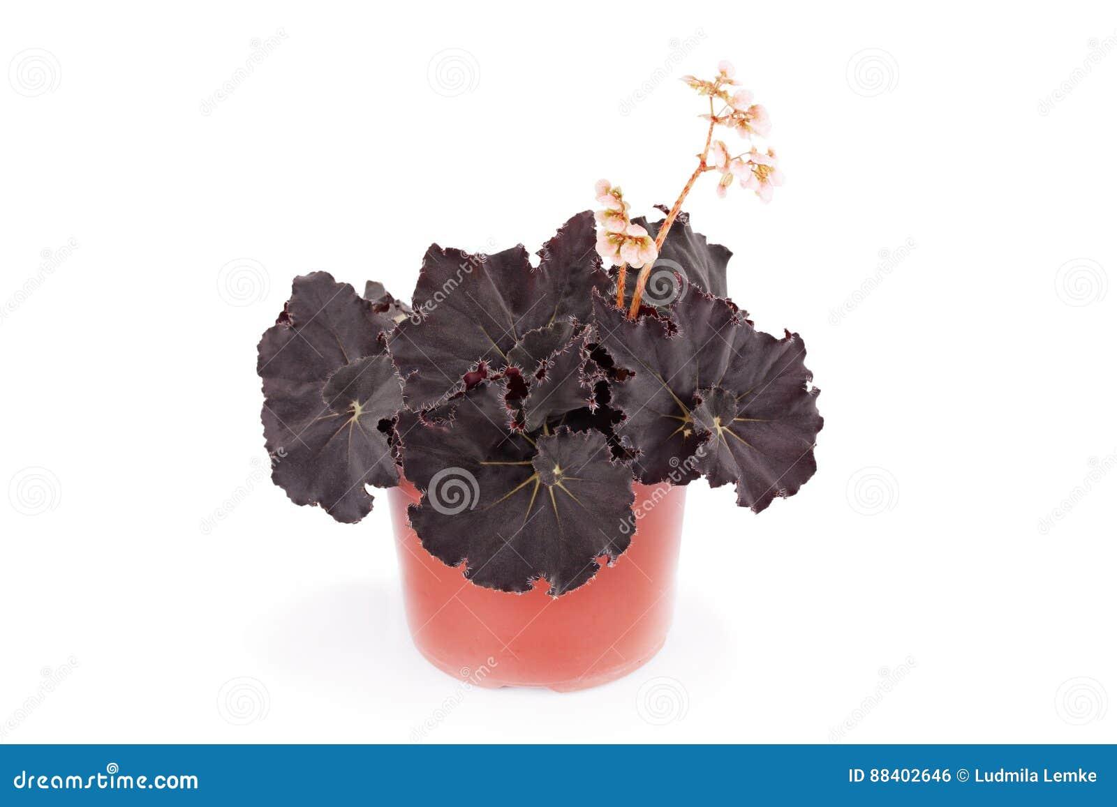 Piante Da Appartamento Begonia.Begonia Dark Mambo Pianta Da Appartamento Decorativa Fotografia