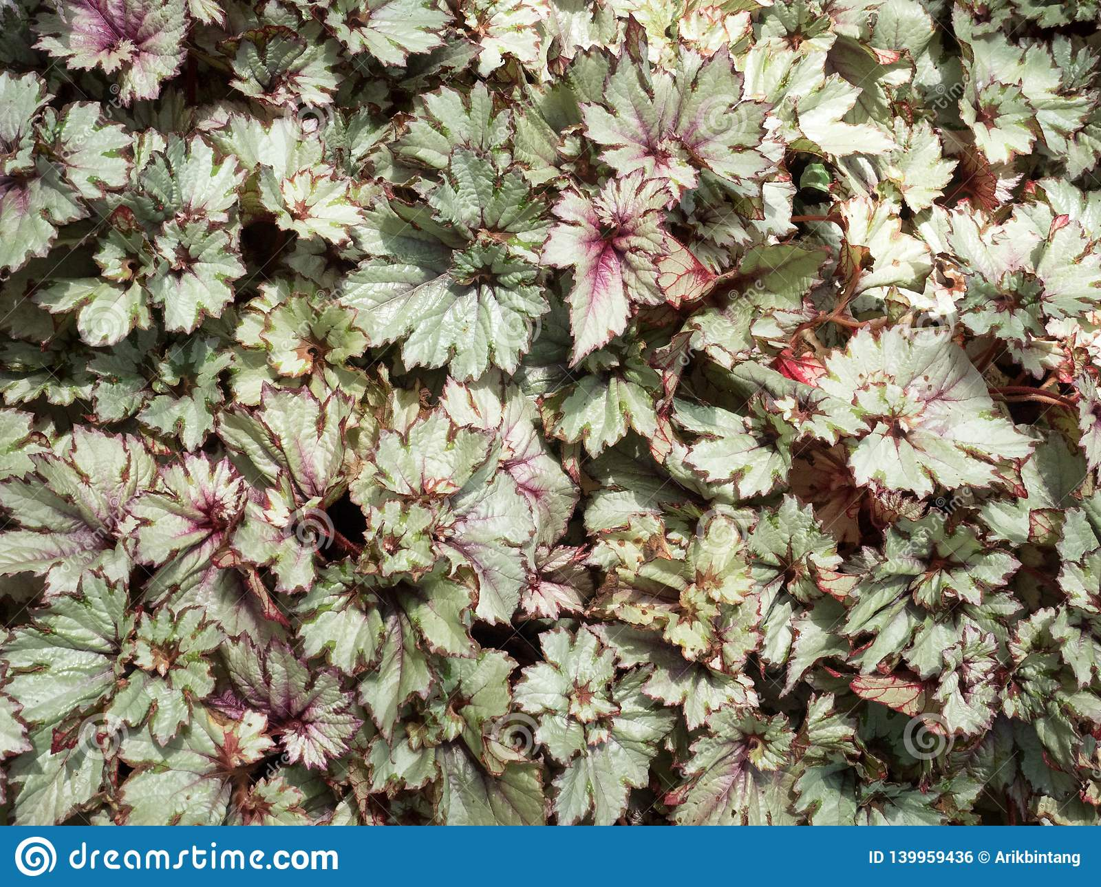 Begonia Plants Flowers In A Tropical Garden Stock Photo Image
