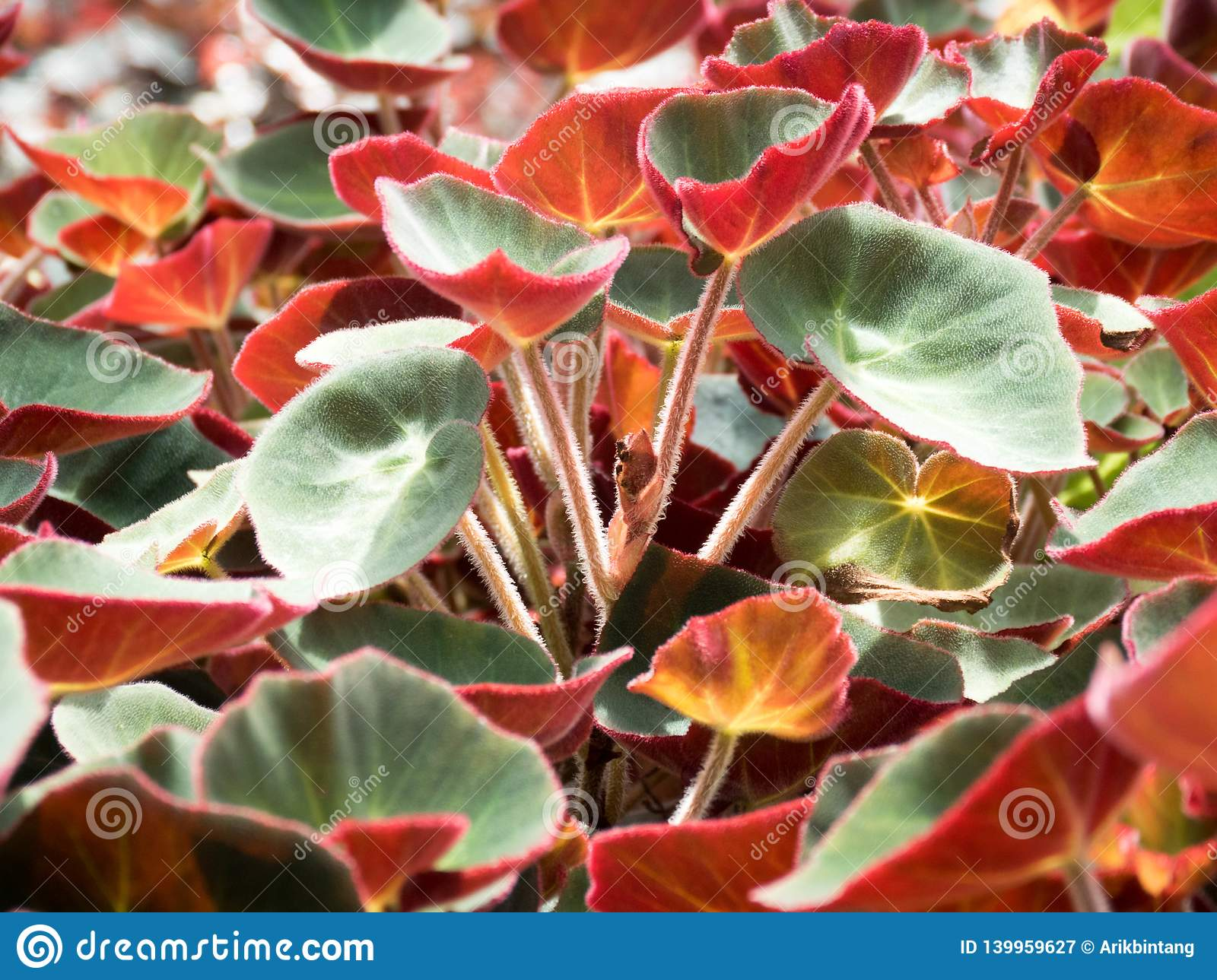 Begonia Plants Flowers In A Tropical Garden Stock Image Image