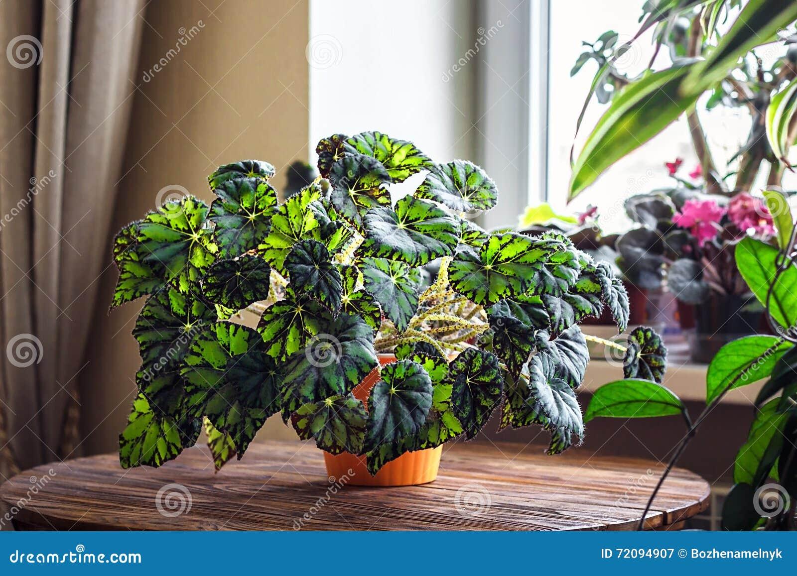 Fiori Da Vaso Perenni begonia in vaso da fiori arancio su fondo di legno genere