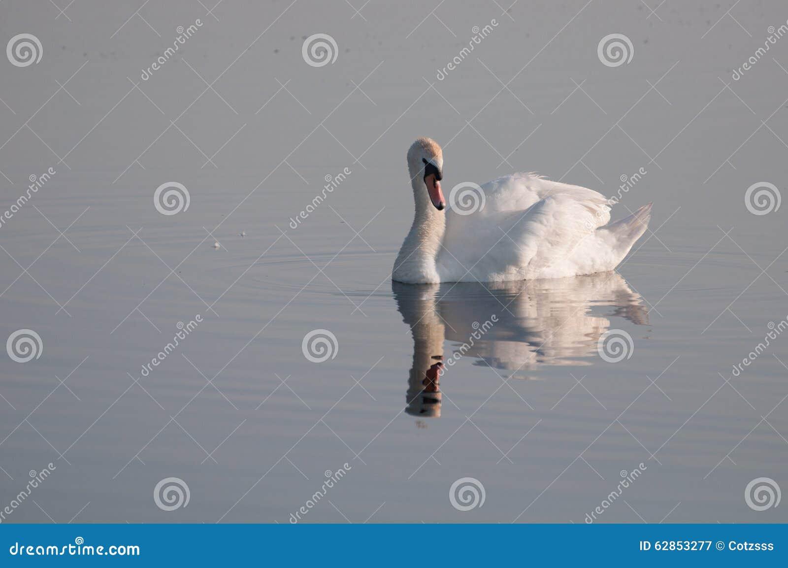 Behagfull svan reflekterad på vattenyttersidan