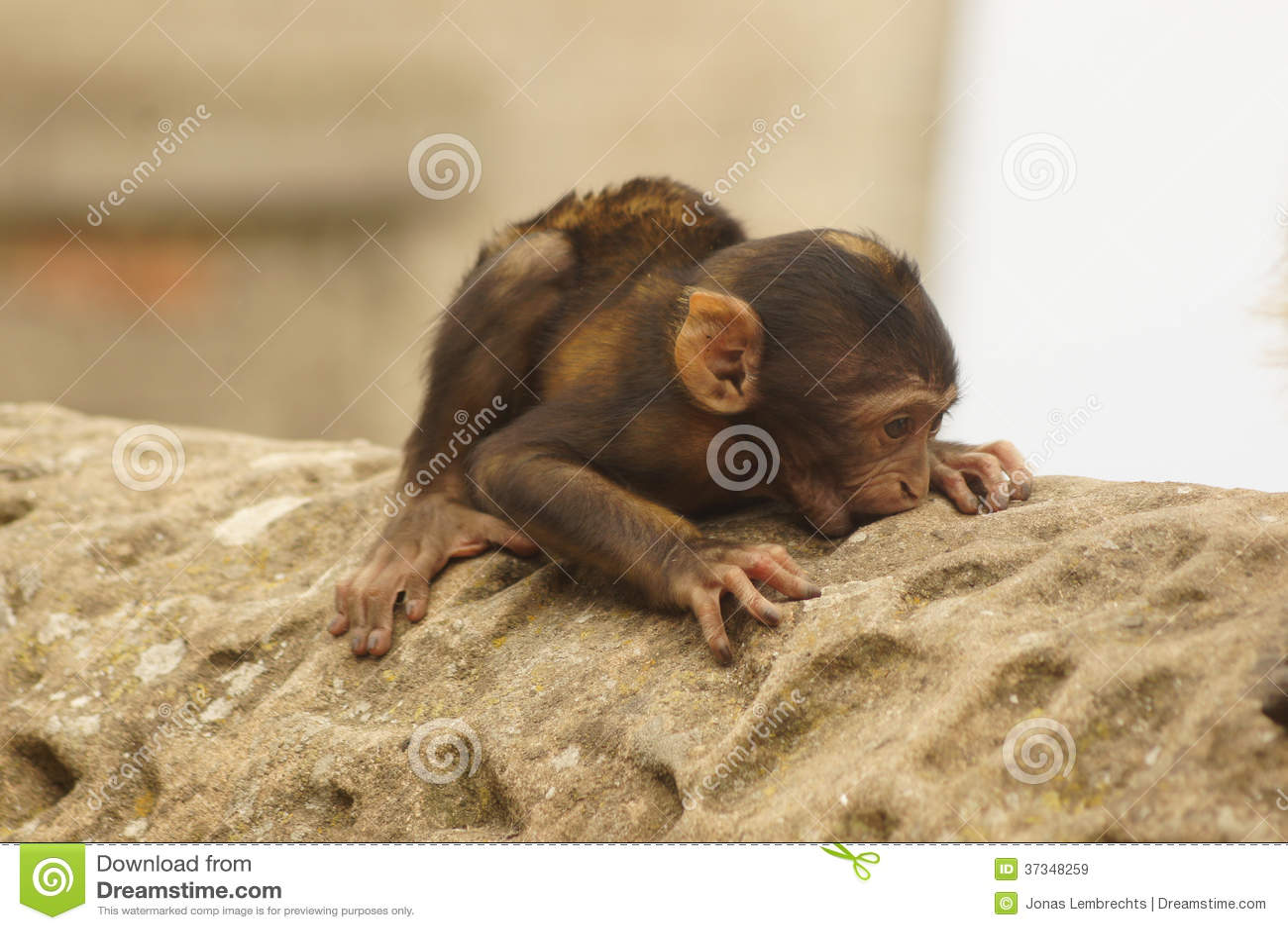 Behandla som ett barn den Barbary macaquen vaggar på