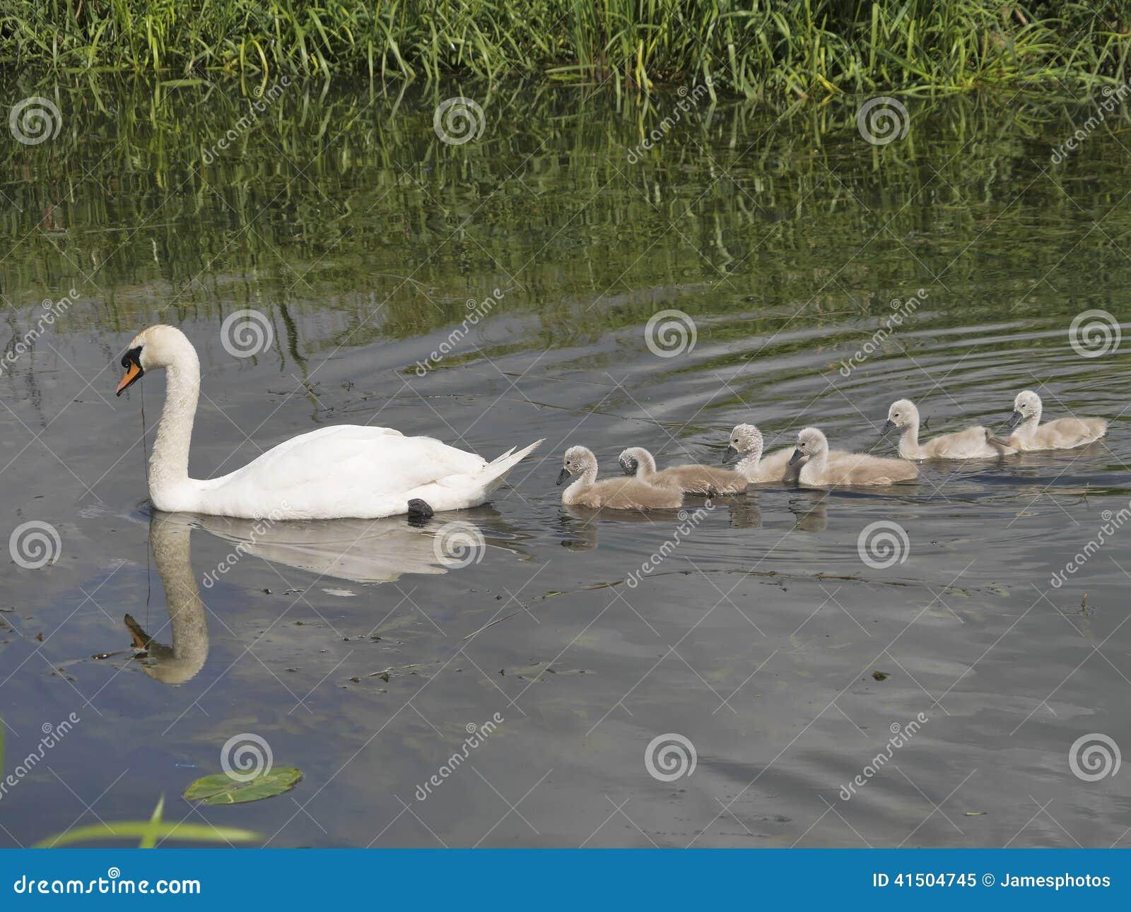 Behandla som ett barn den stumma svanen för modern som leder sex, signet på floden