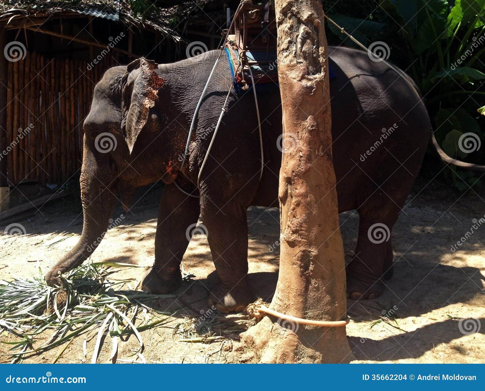 Behandla som ett barn elefanten för turister i Thailand