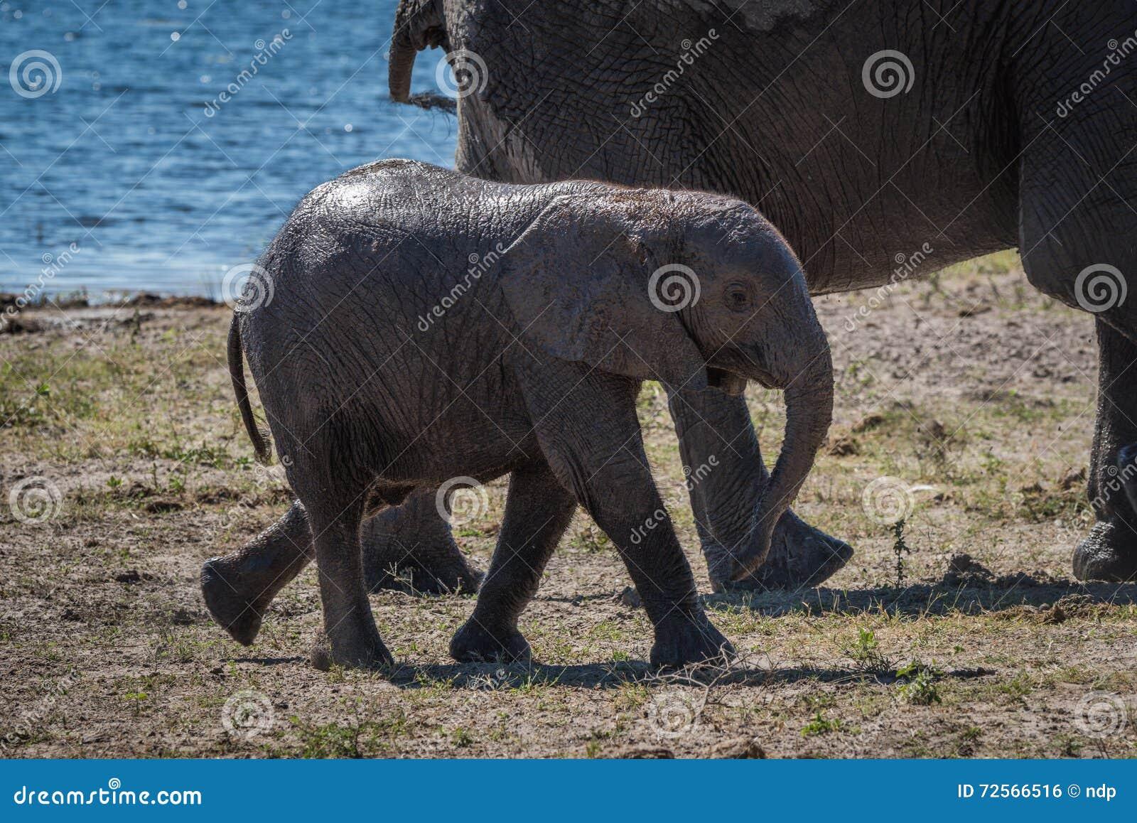 Behandla som ett barn elefanten som går bak moder bredvid floden