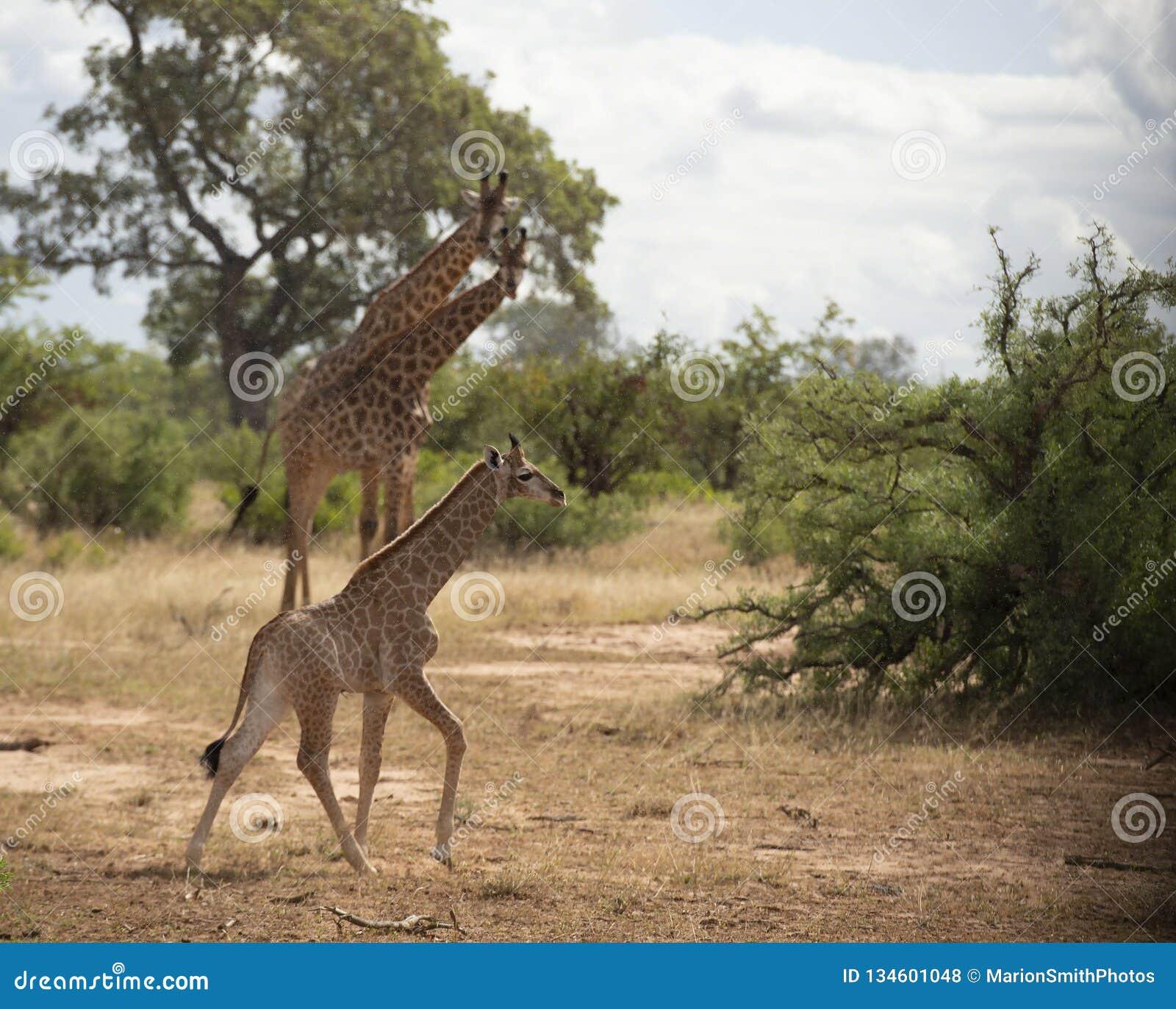 Behandla som ett barn giraffet eller giraffaen som kör i regn