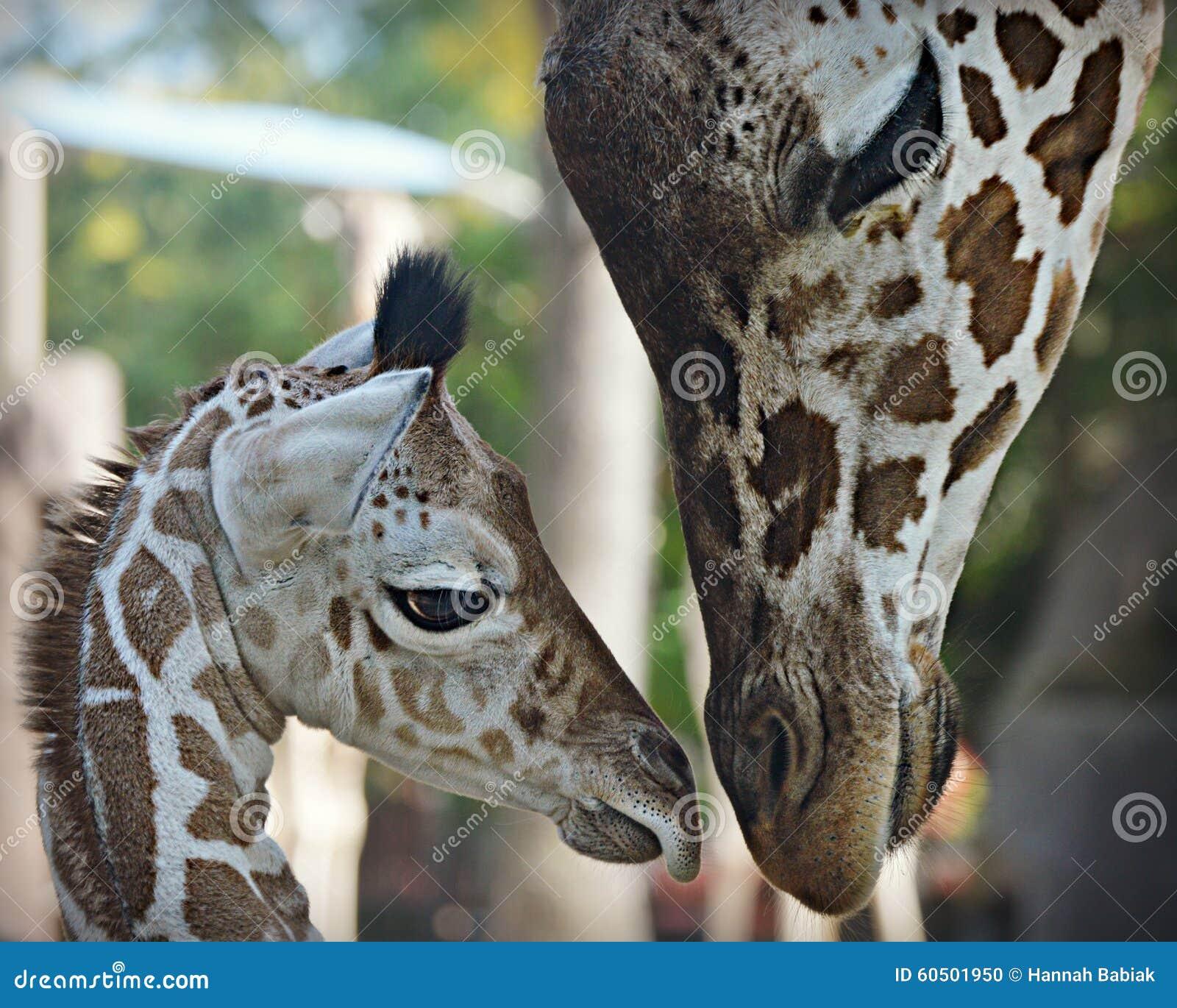 Behandla som ett barn giraffet med mamman