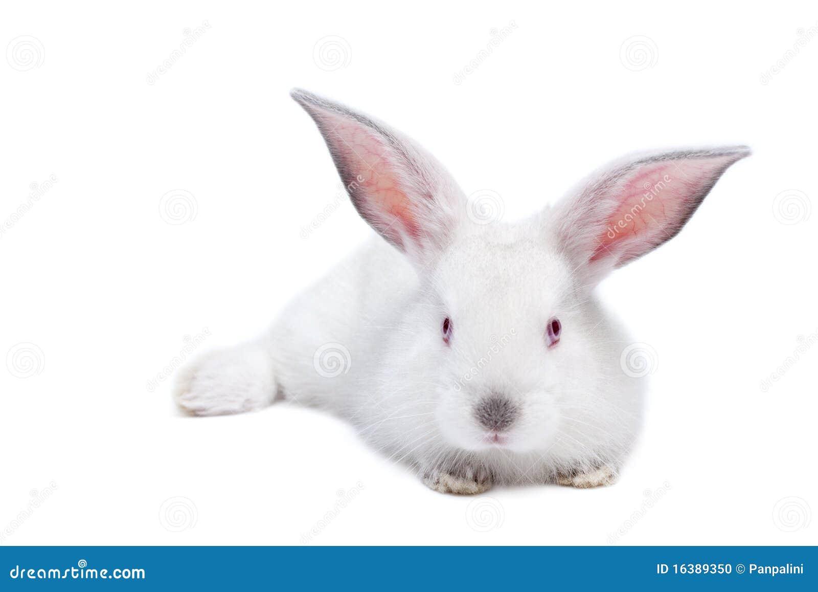 Behandla som ett barn gullig isolerad kaninwhite