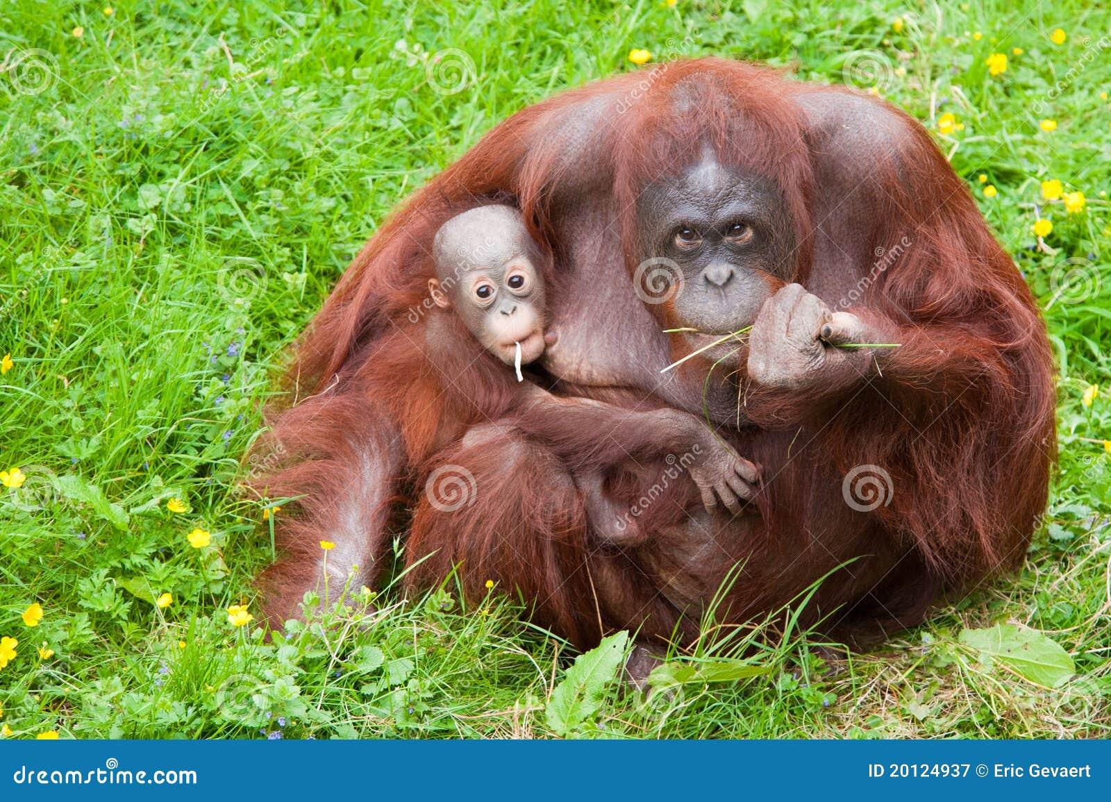 Behandla som ett barn gulligt henne orangutanen