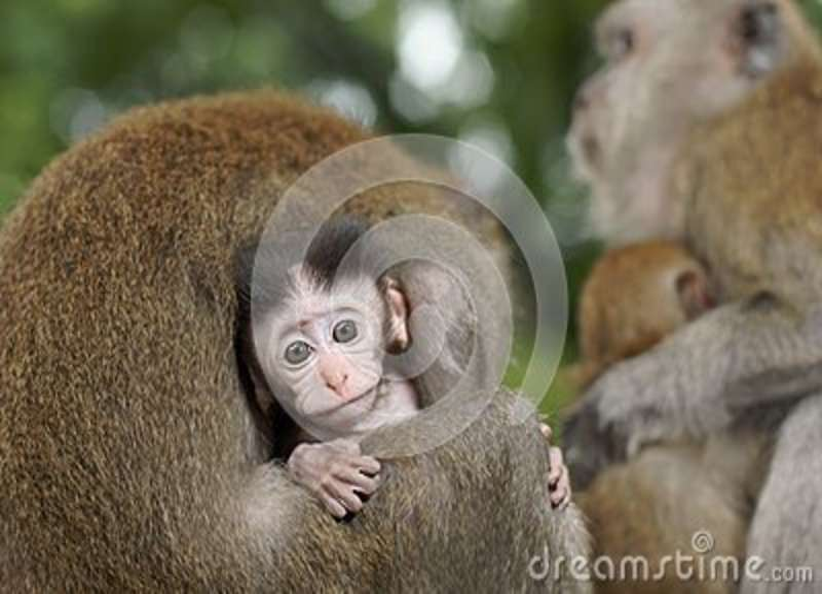 Behandla som ett barn macaquen som ansas