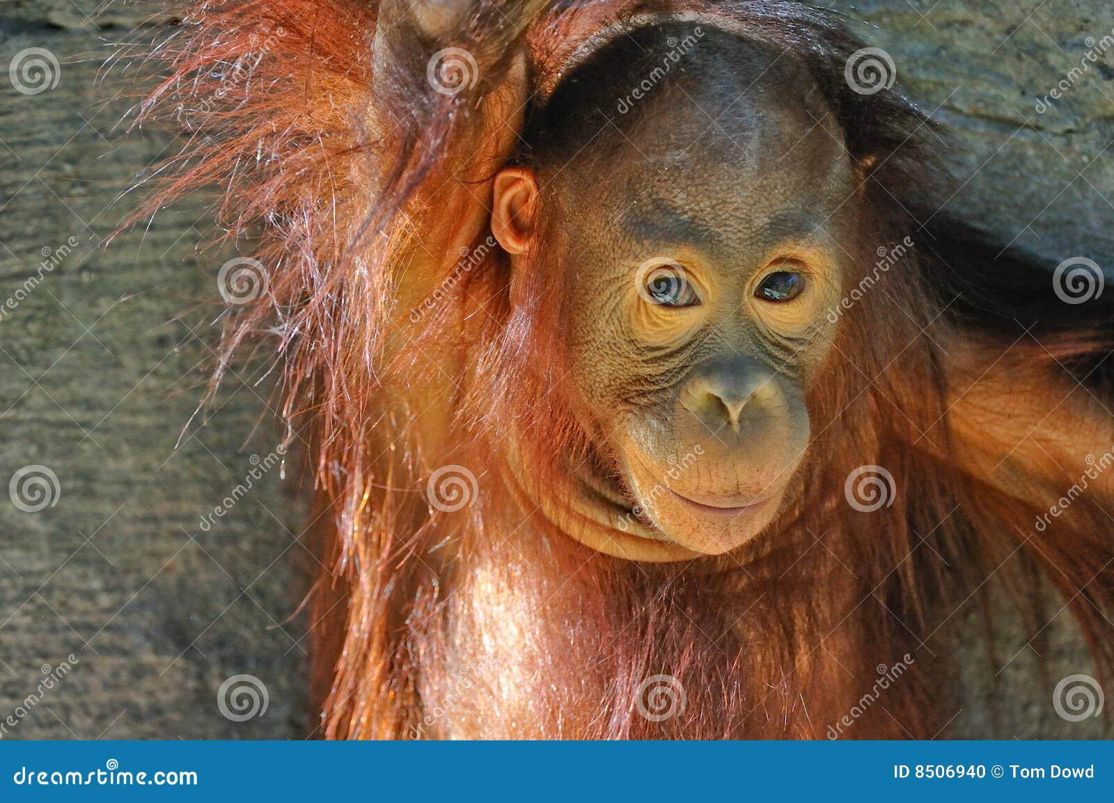 Behandla som ett barn orangutanen