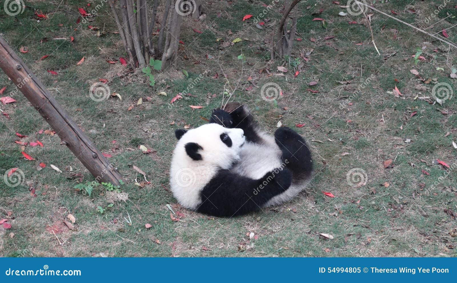 Behandla som ett barn pandan i Sichuan Panda Reserve
