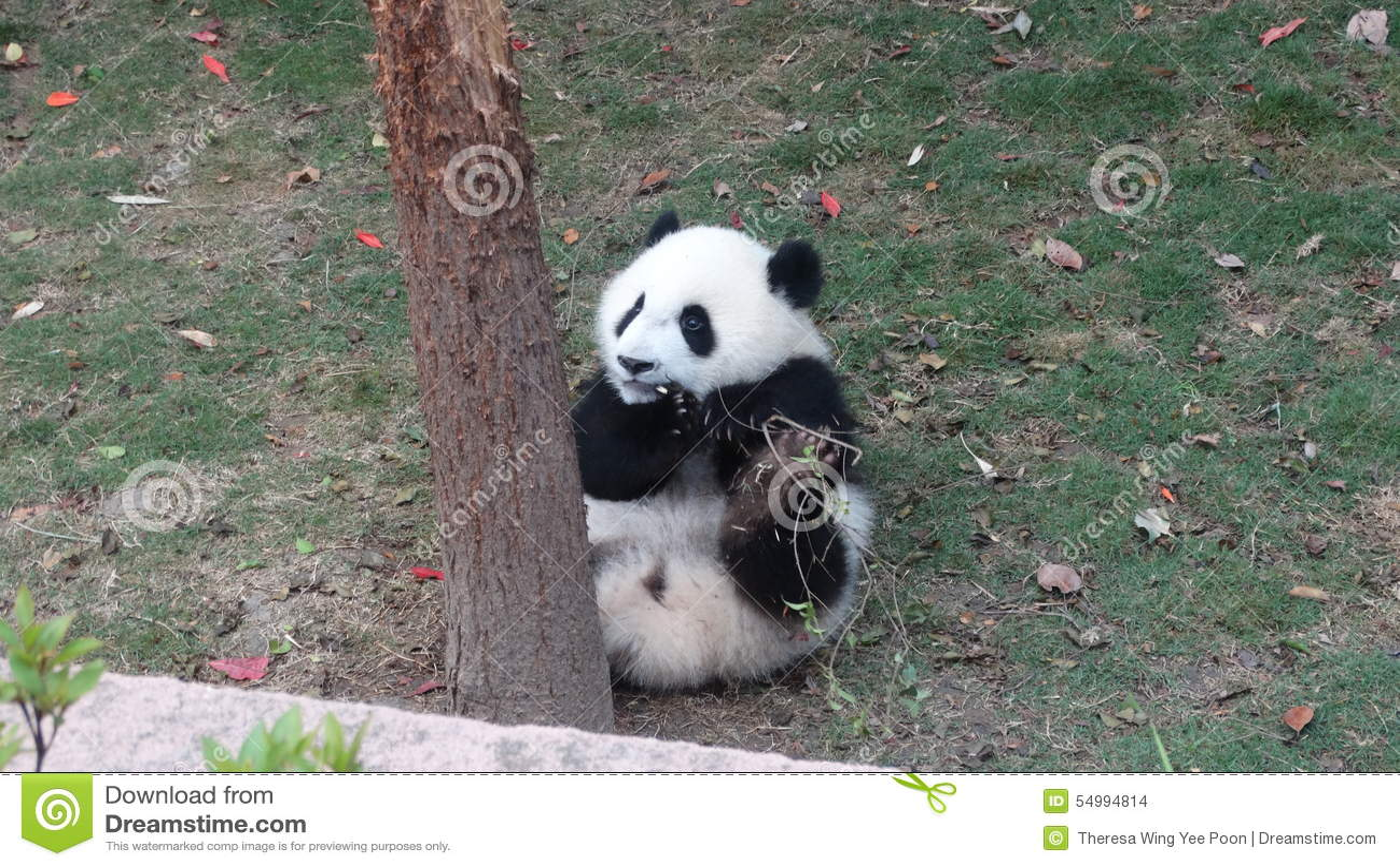 Behandla som ett barn pandan som äter bambusidor i Sichuan Panda Reserve