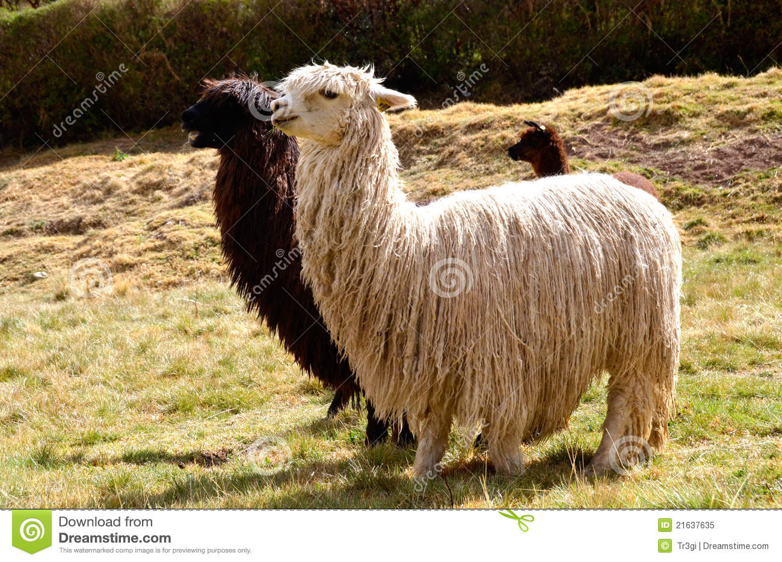 Behandla som ett barn svart lamasparwhite