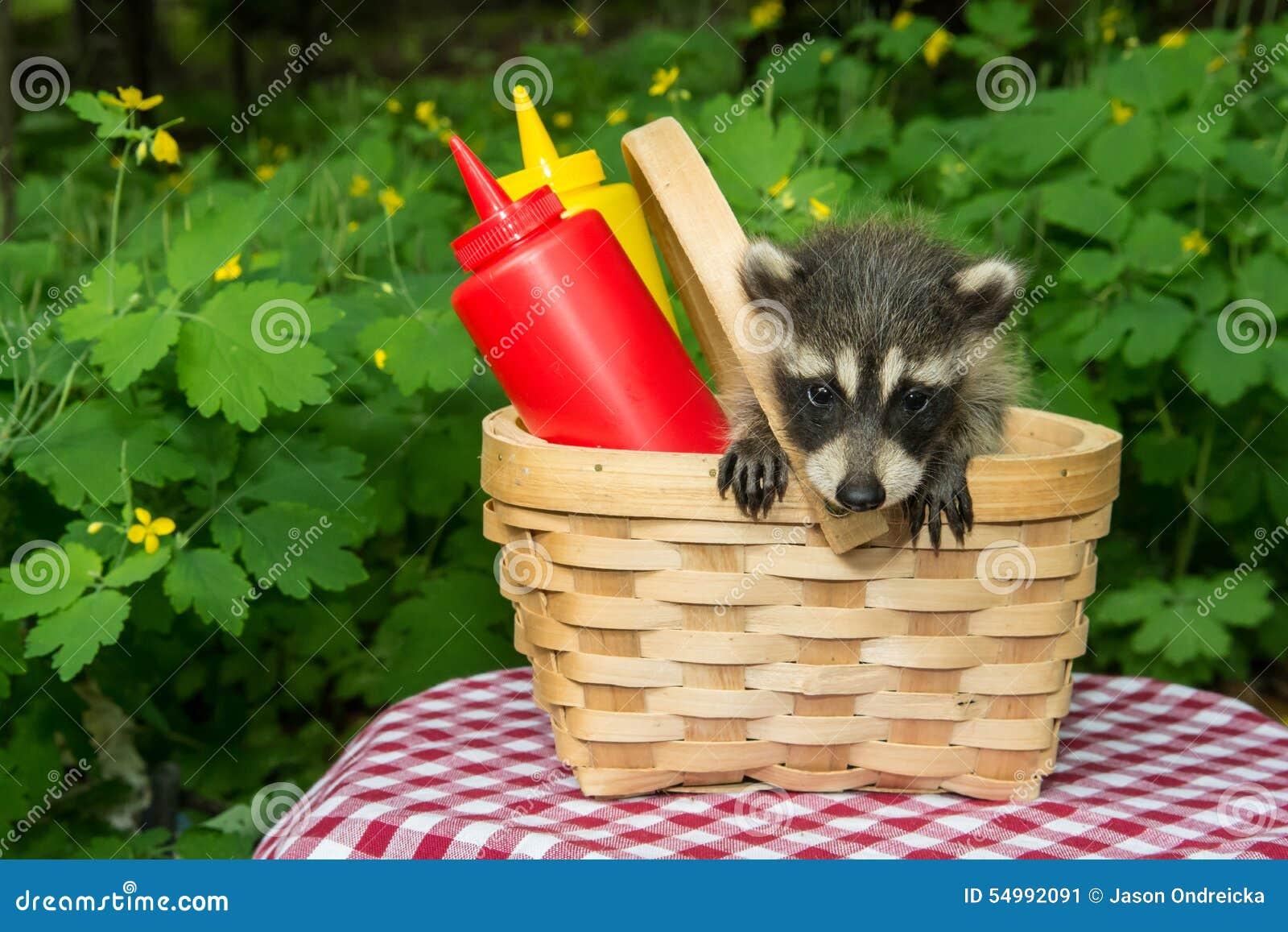 Behandla som ett barn tvättbjörnen i en picknickkorg