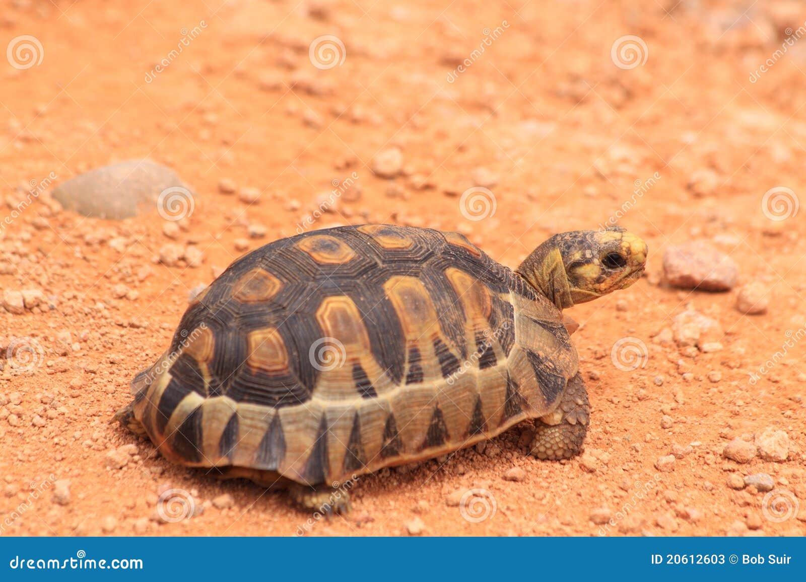 Behandla som ett barn wild liten turtoise för leoparden